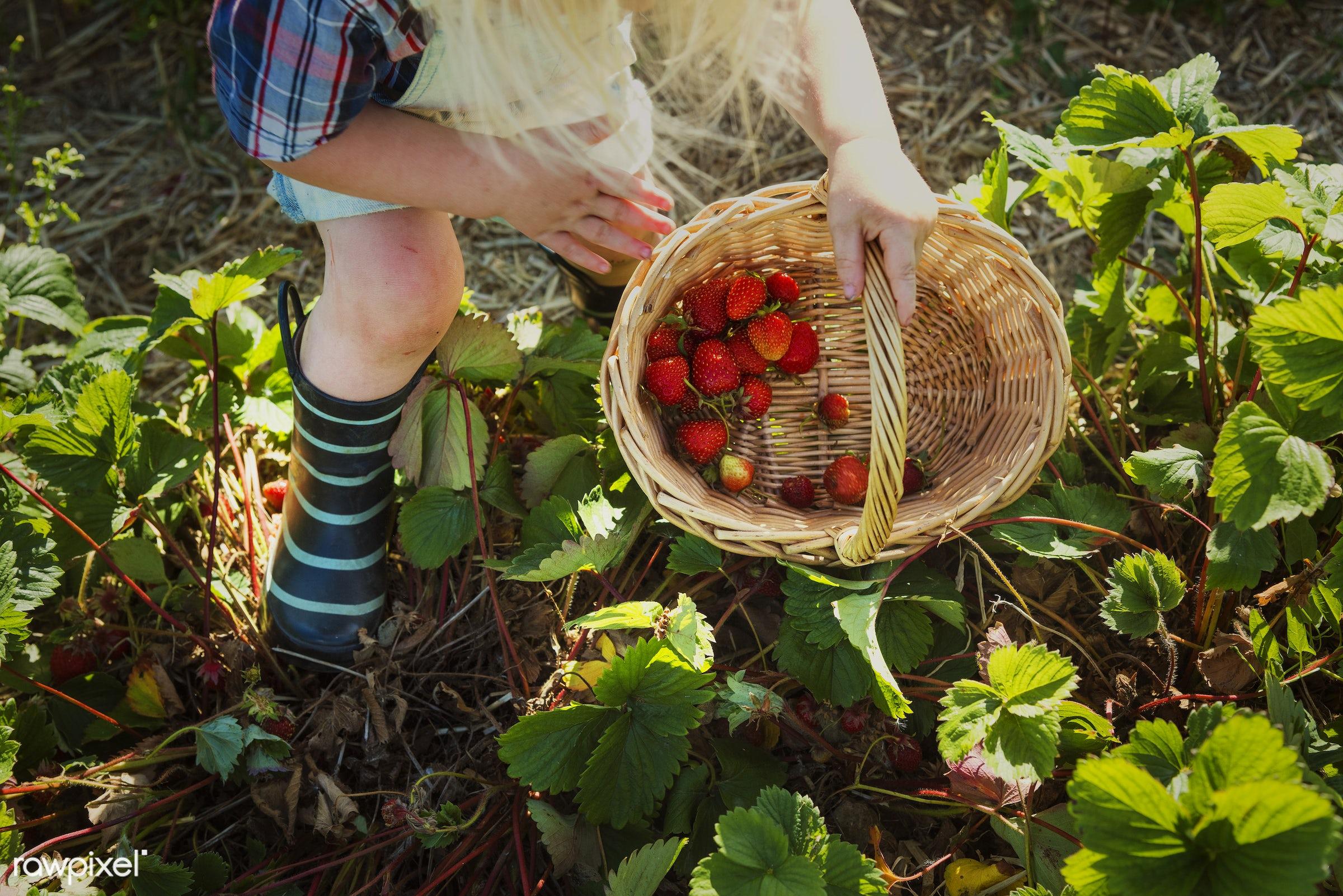 Kid in strawberry farm - alone, backyard, botany, boy, caucasian, countryside, cultivate, field, fresh, fruit, garden,...