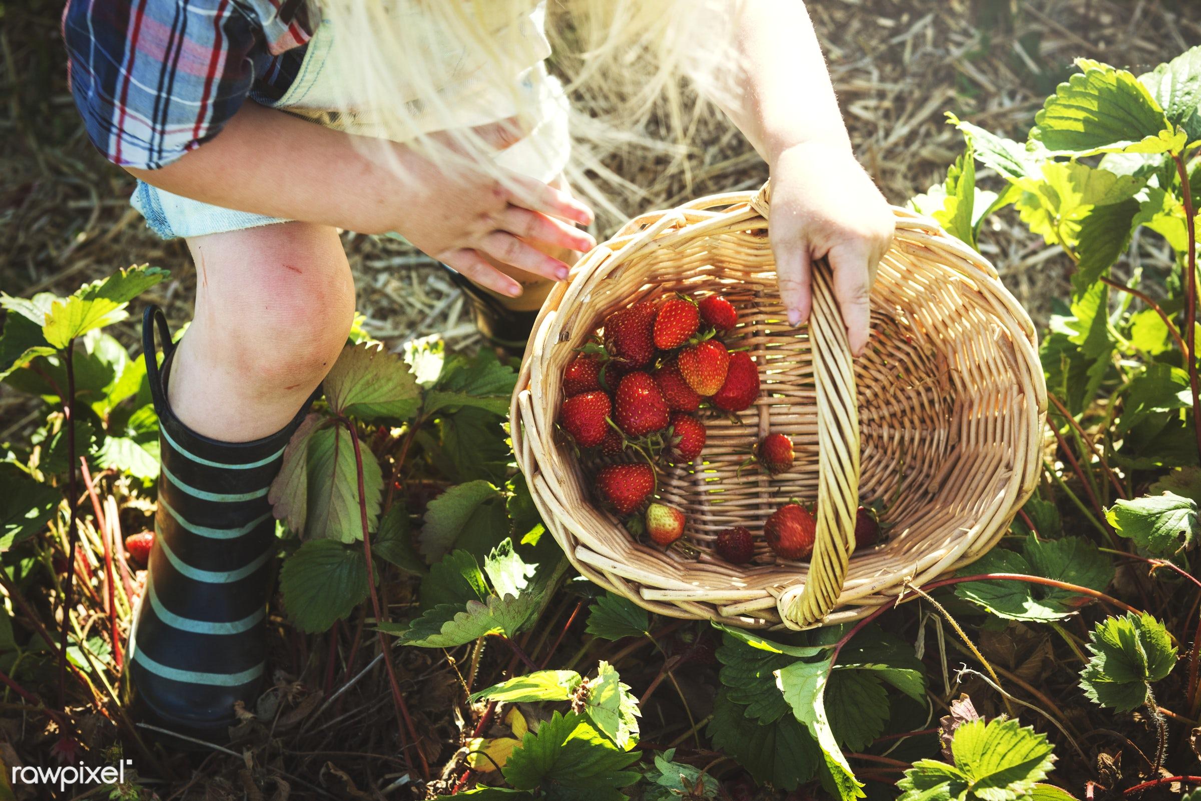Kid in strawberry farm - alone, backyard, botany, boy, child, children, countryside, cultivate, farm, field, fresh, fruit,...