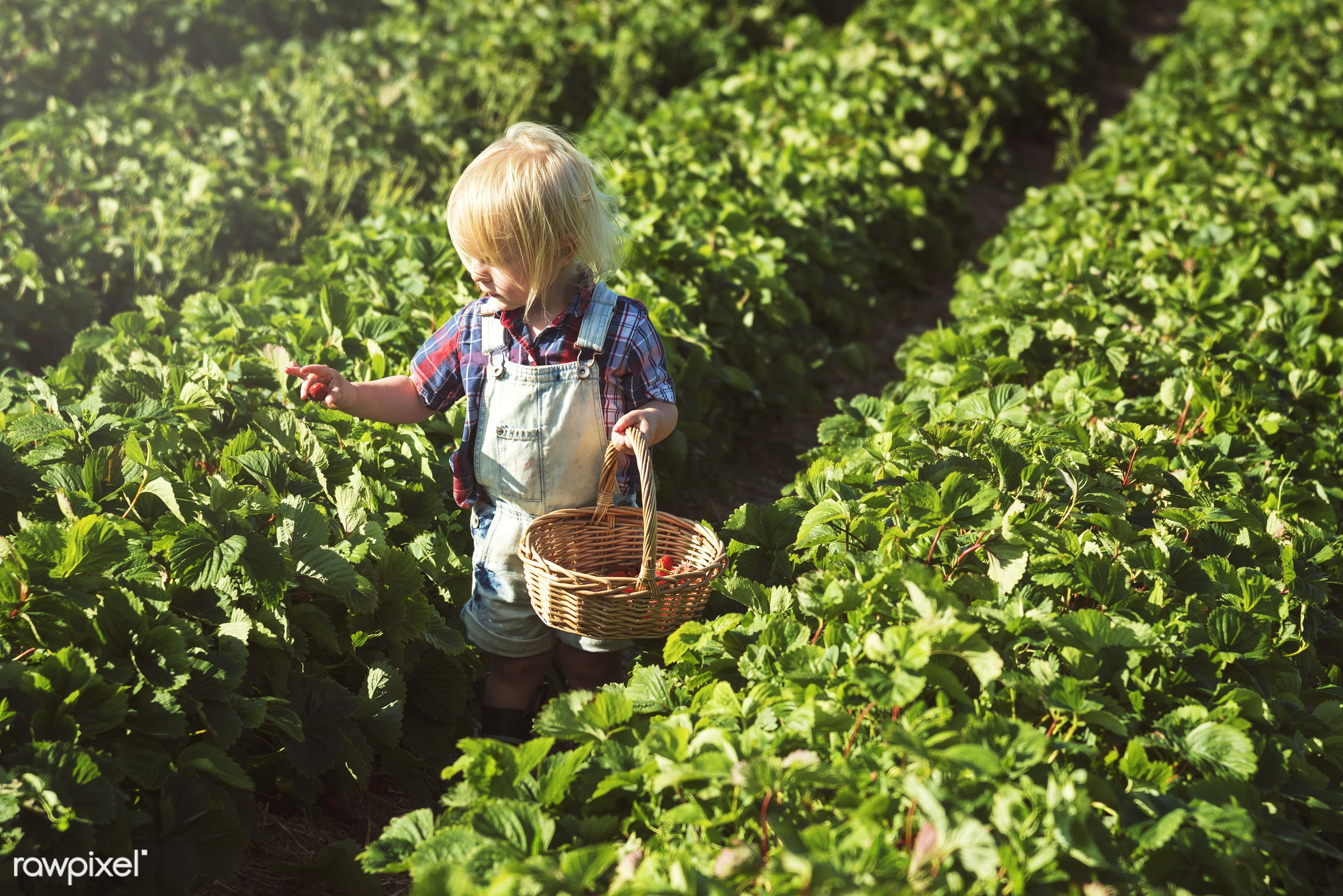 Kid in strawberry farm - alone, backyard, botany, boy, caucasian, countryside, cultivate, farm, field, fresh, fruit, garden...