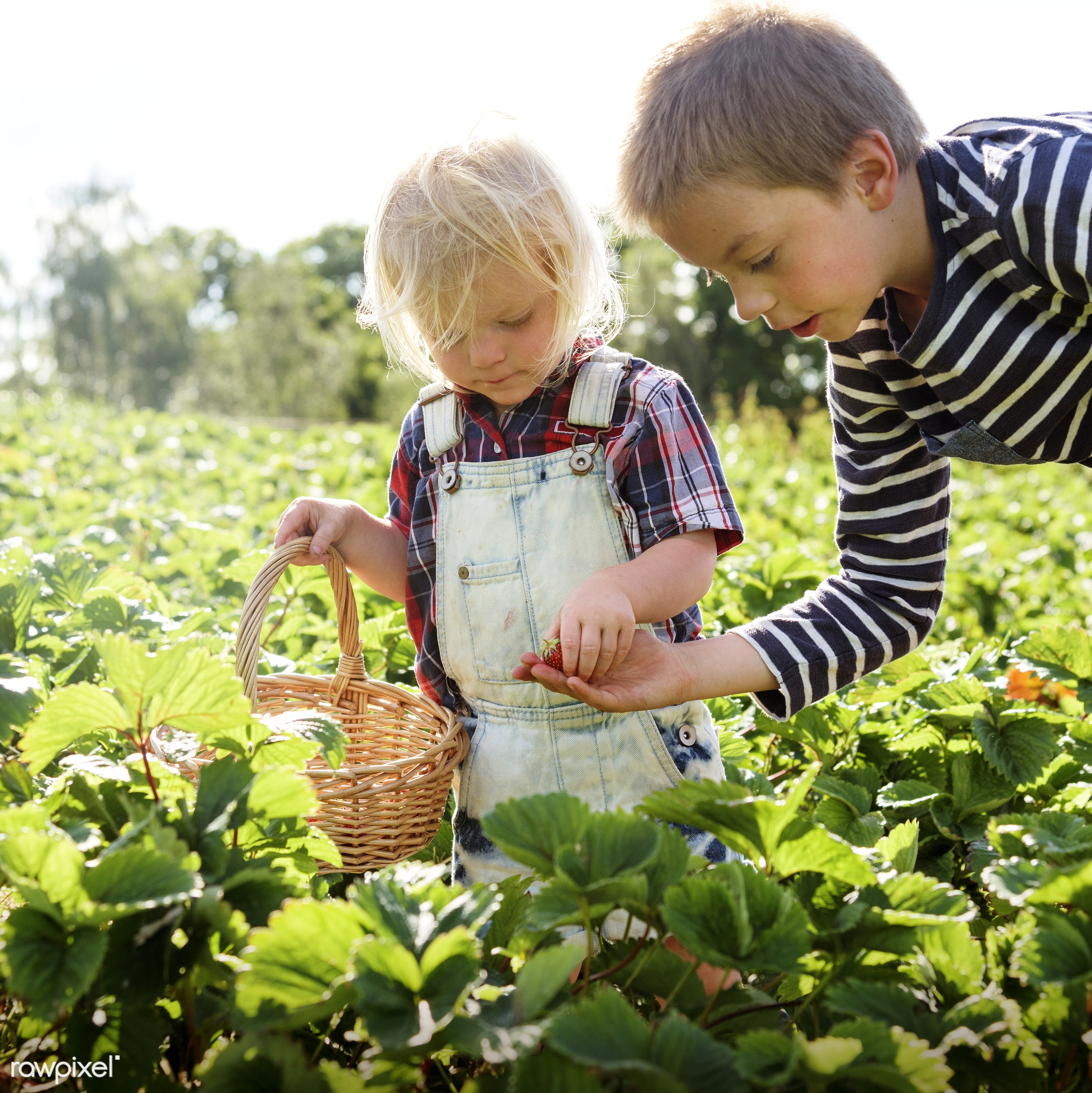 Kids in strawberry farm - backyard, botany, boys, brother, caucasian, children, countryside, cultivate, farm, field, fresh,...