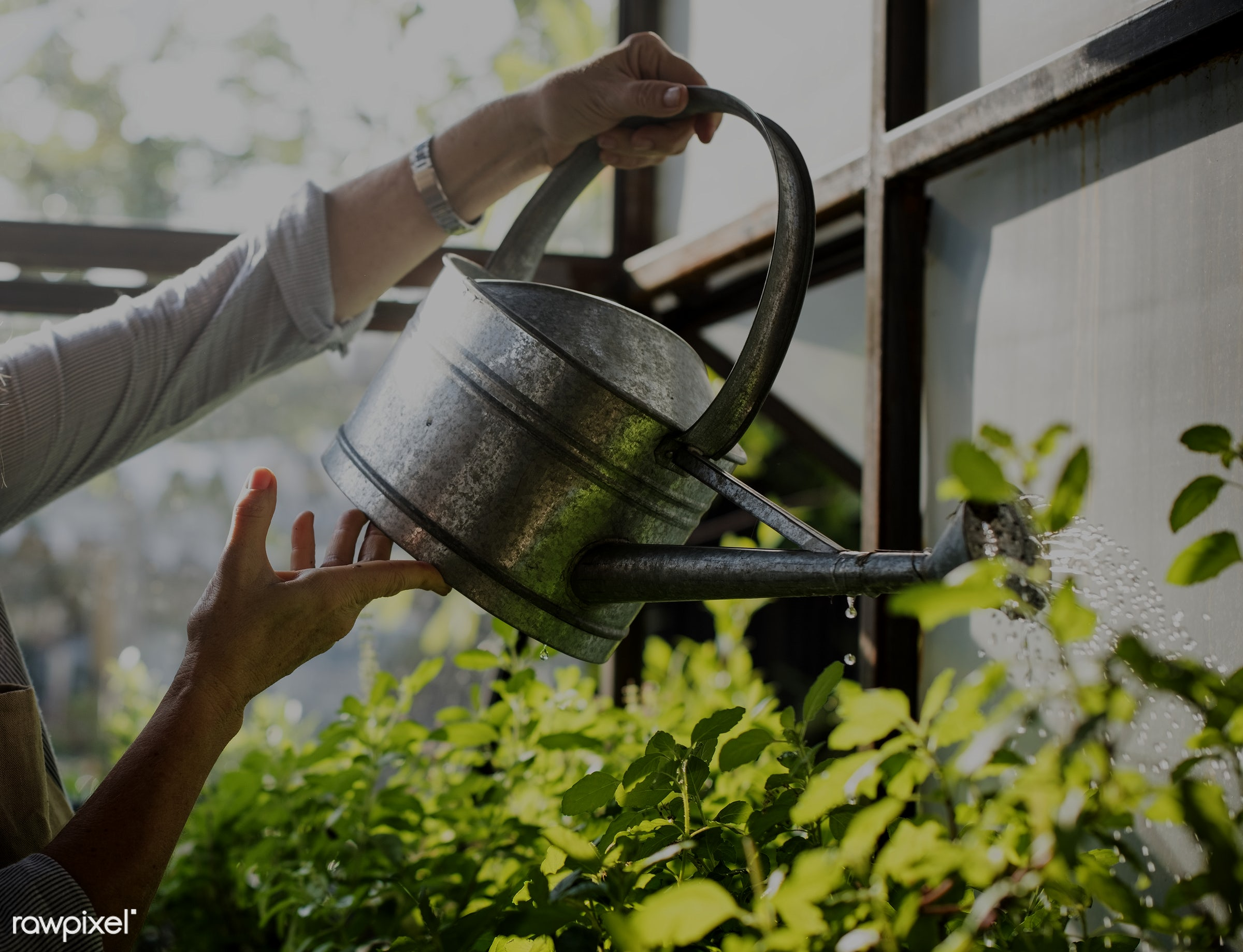 Hands watering plants with a metal can - closeup, hands, watering, can, metal, tin, greenhouse, green, plants, hobbies,...