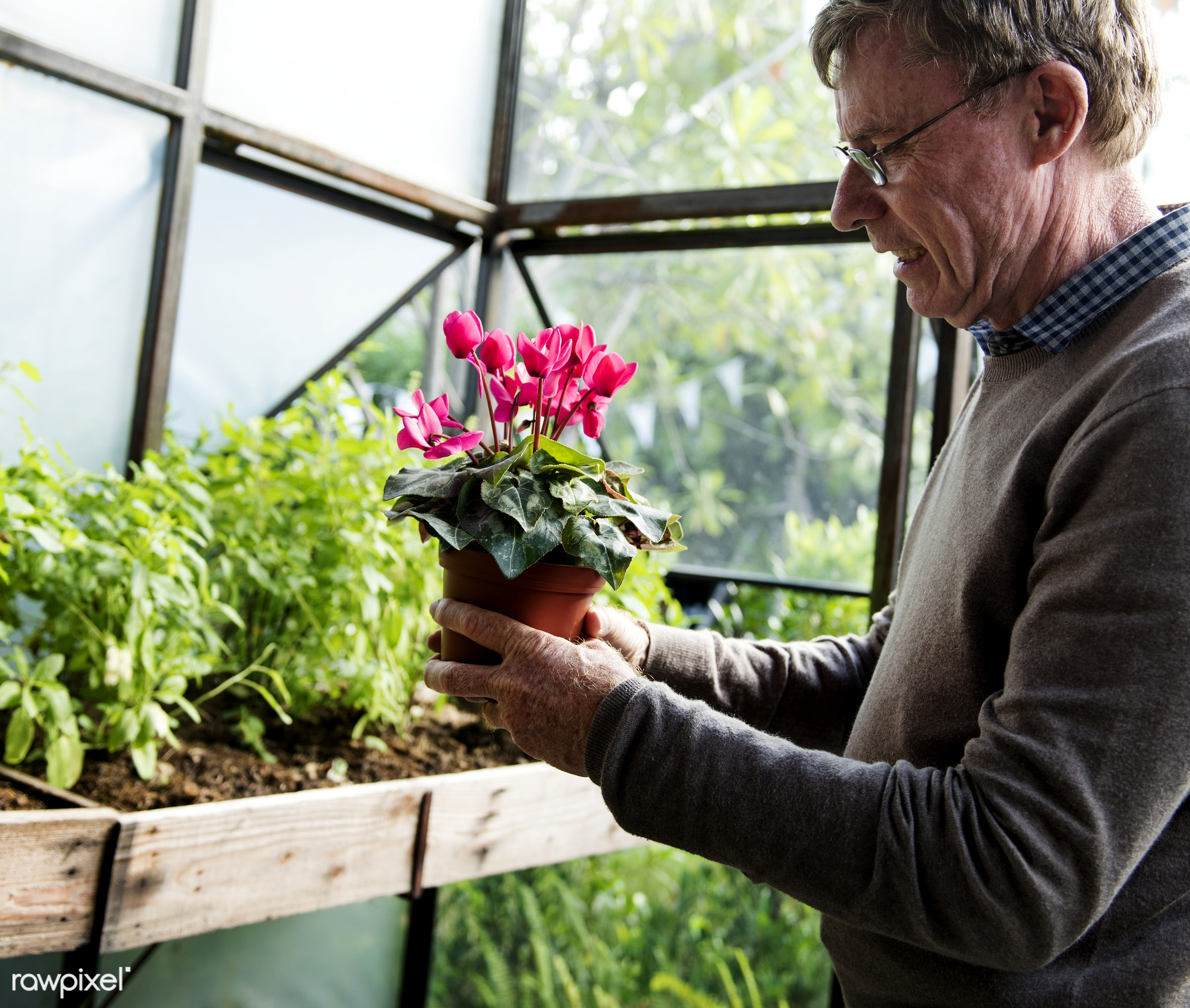 Senior man with a flower pot in a greenhouse - alone, elderly, flower, garden, gardening, green, green thumb, greenhouse,...