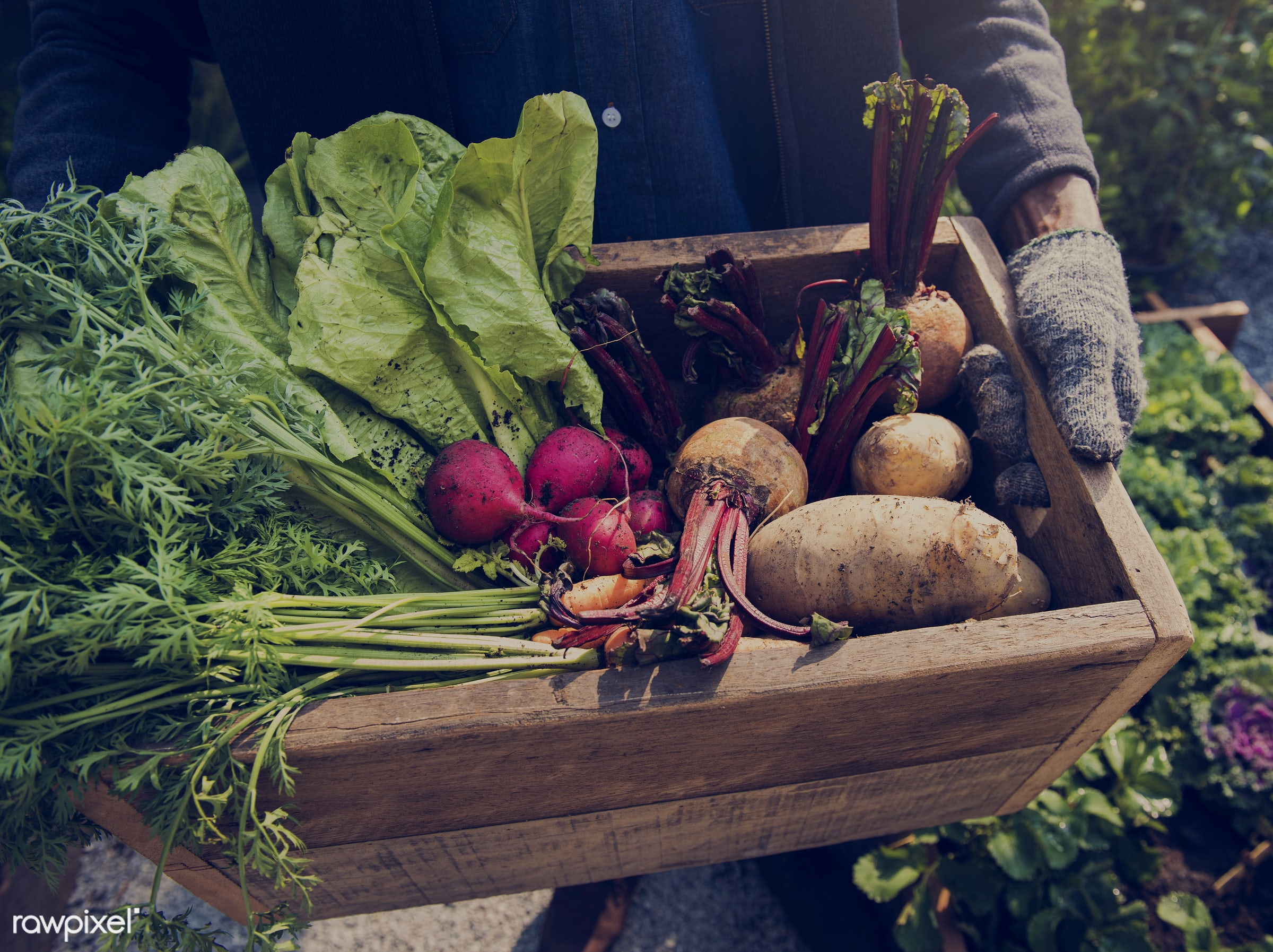 nutritious, carrot, holding, farmer, fresh, lettuce, agriculture, beetroot, radish, agricultural, product, nutrition,...