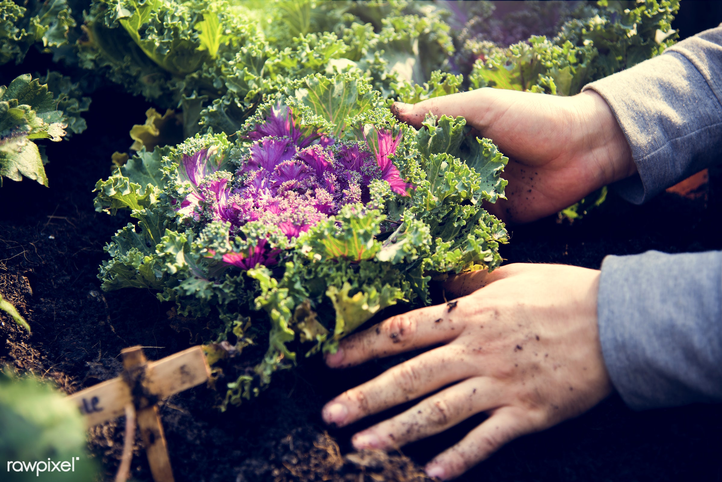 plant, greenhouse, farmer, hands, fresh, lettuce, green, agriculture, planting, healthy lifestyle, agricultural, product,...