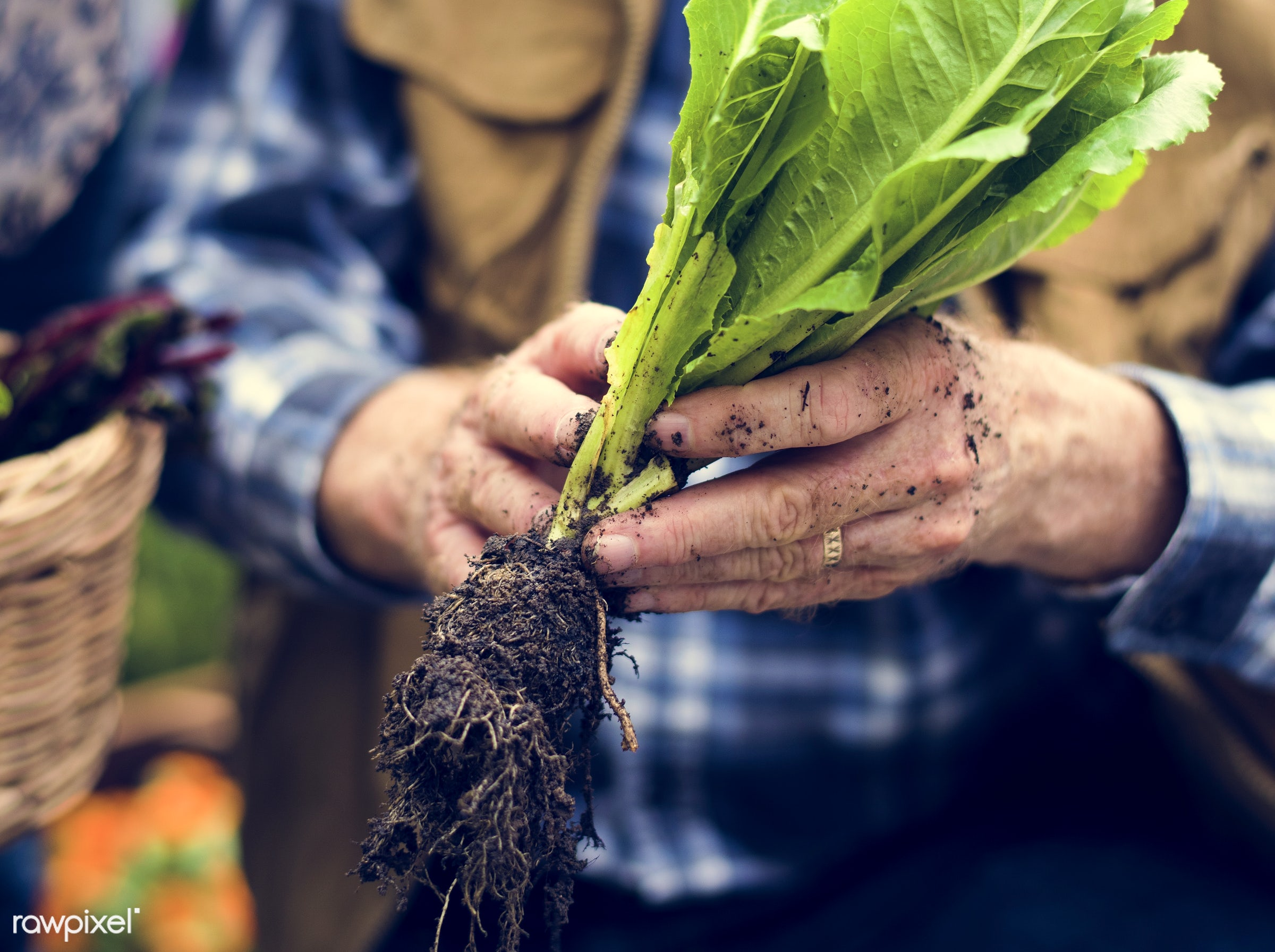 salad, person, holding, root, people, nature, woman, lifestyle, shirt, ring, health, nutrition, food, vegetable, soil, raw,...