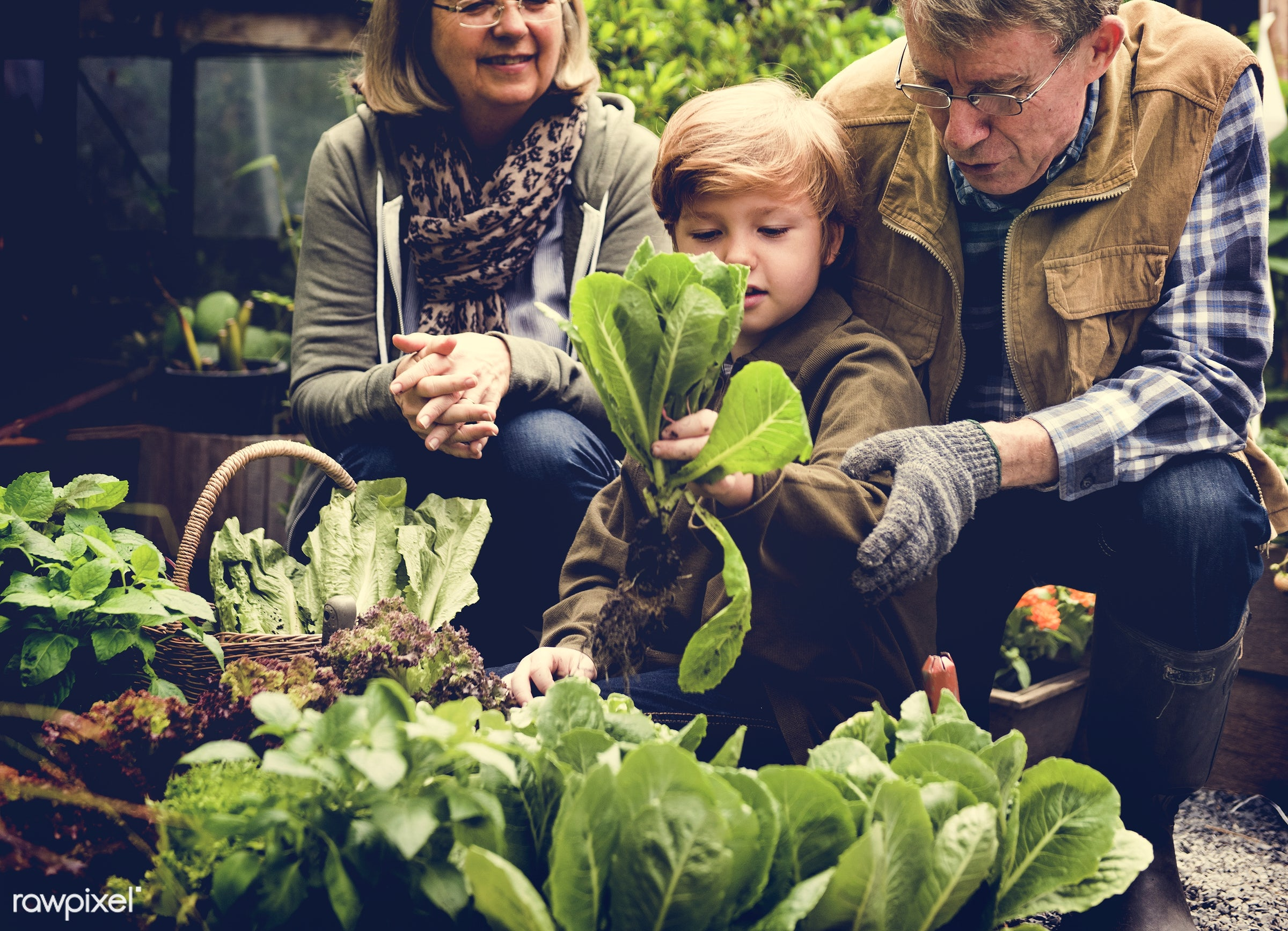 plant, nutritious, carrot, grandfather, basil, farmer, fresh, woman, lettuce, family, healthy eating, grandson, man, green,...