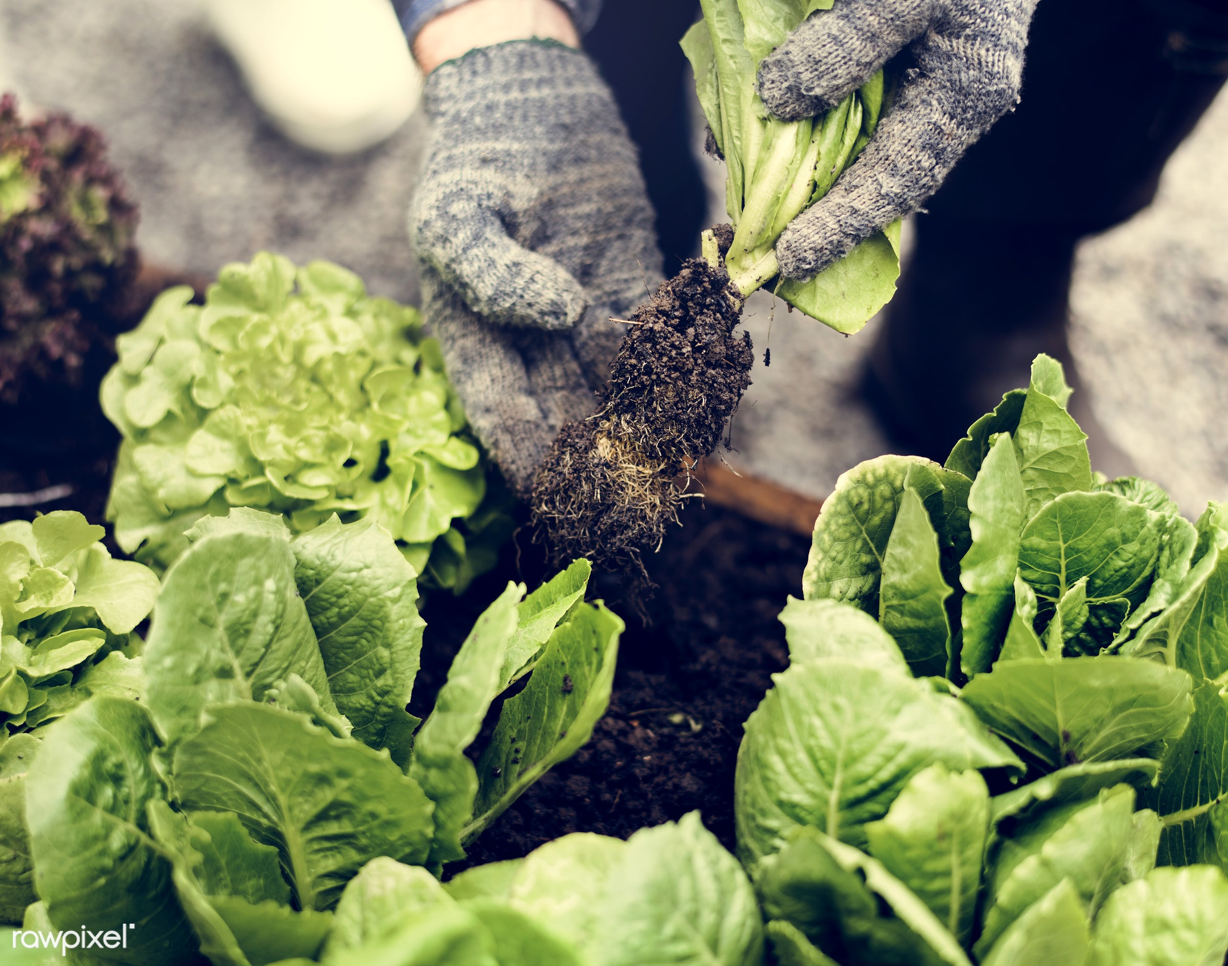 salad, person, leaves, people, farmer, tree, tree bed, dirt, agriculture, planting, present, nutrition, shovel, vegetable,...