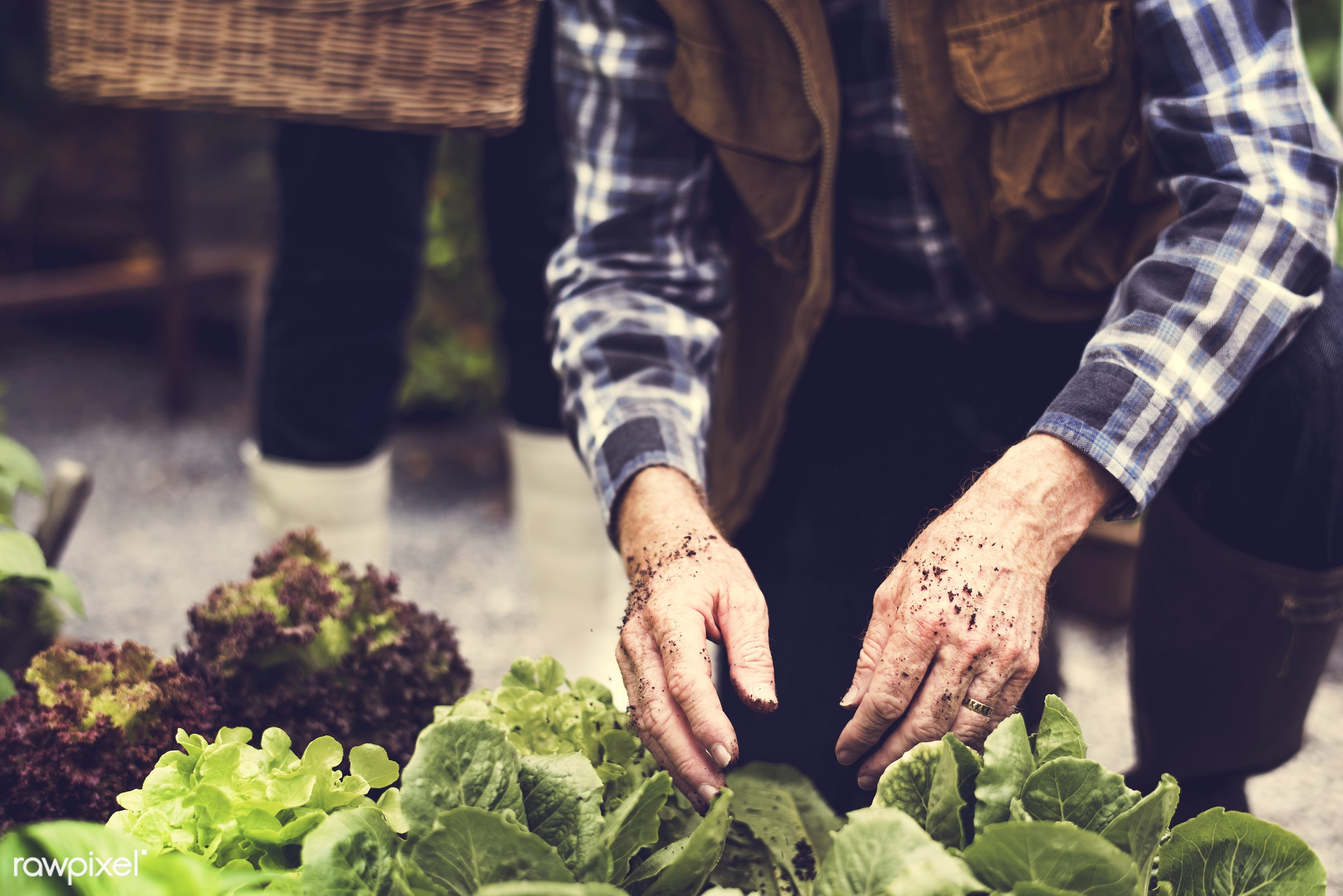 plant, nutritious, farmer, fresh, woman, lettuce, family, healthy eating, couple, man, green, togetherness, agriculture,...