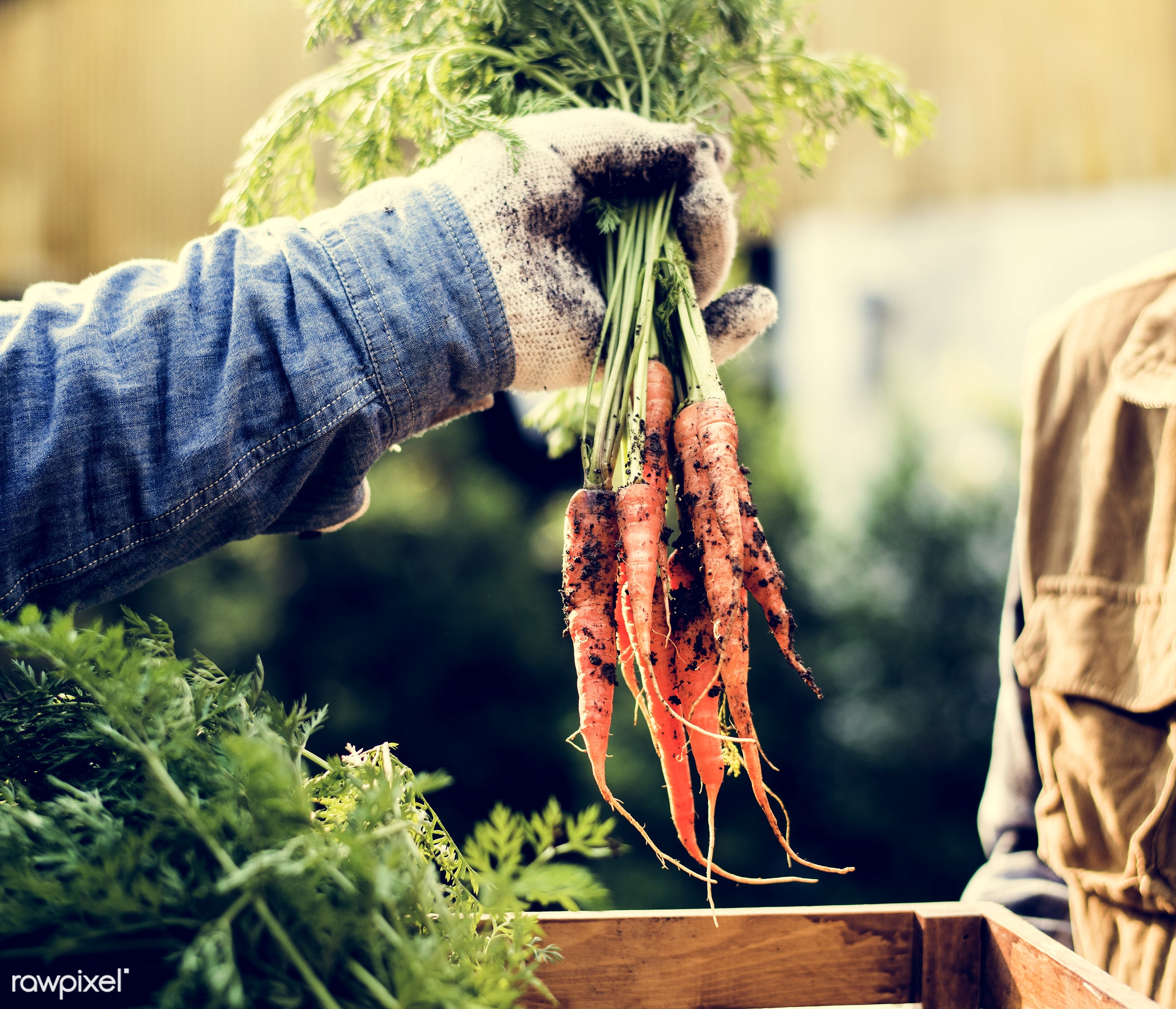 plant, raw, carrot, botany, people, hand, farmer, nature, fresh, conservation, vegetarian, ingredient, ecology, hold,...