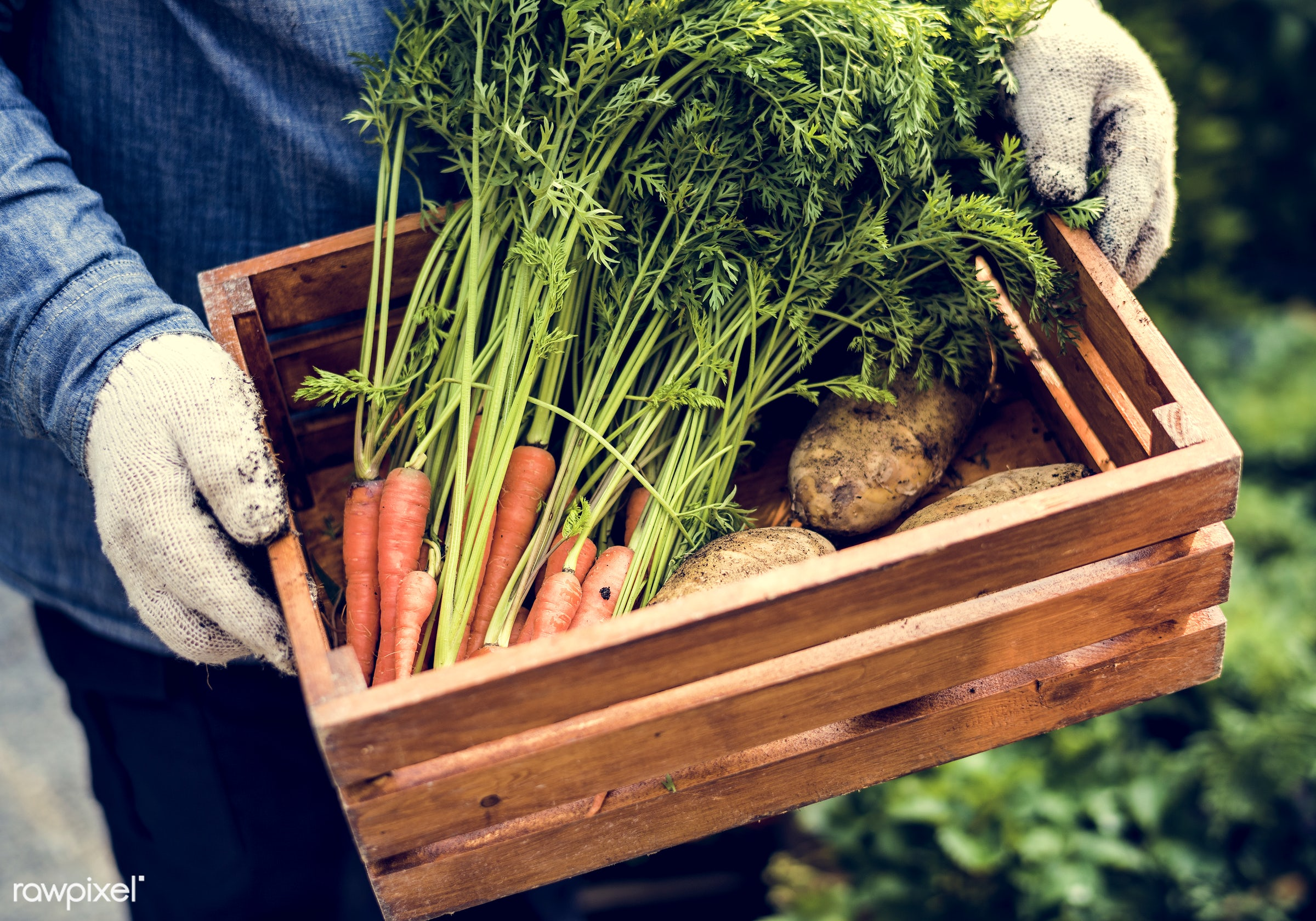 plant, carrot, nutritious, greenhouse, holding, farmer, fresh, hands, healthy eating, man, green, agriculture, planting,...