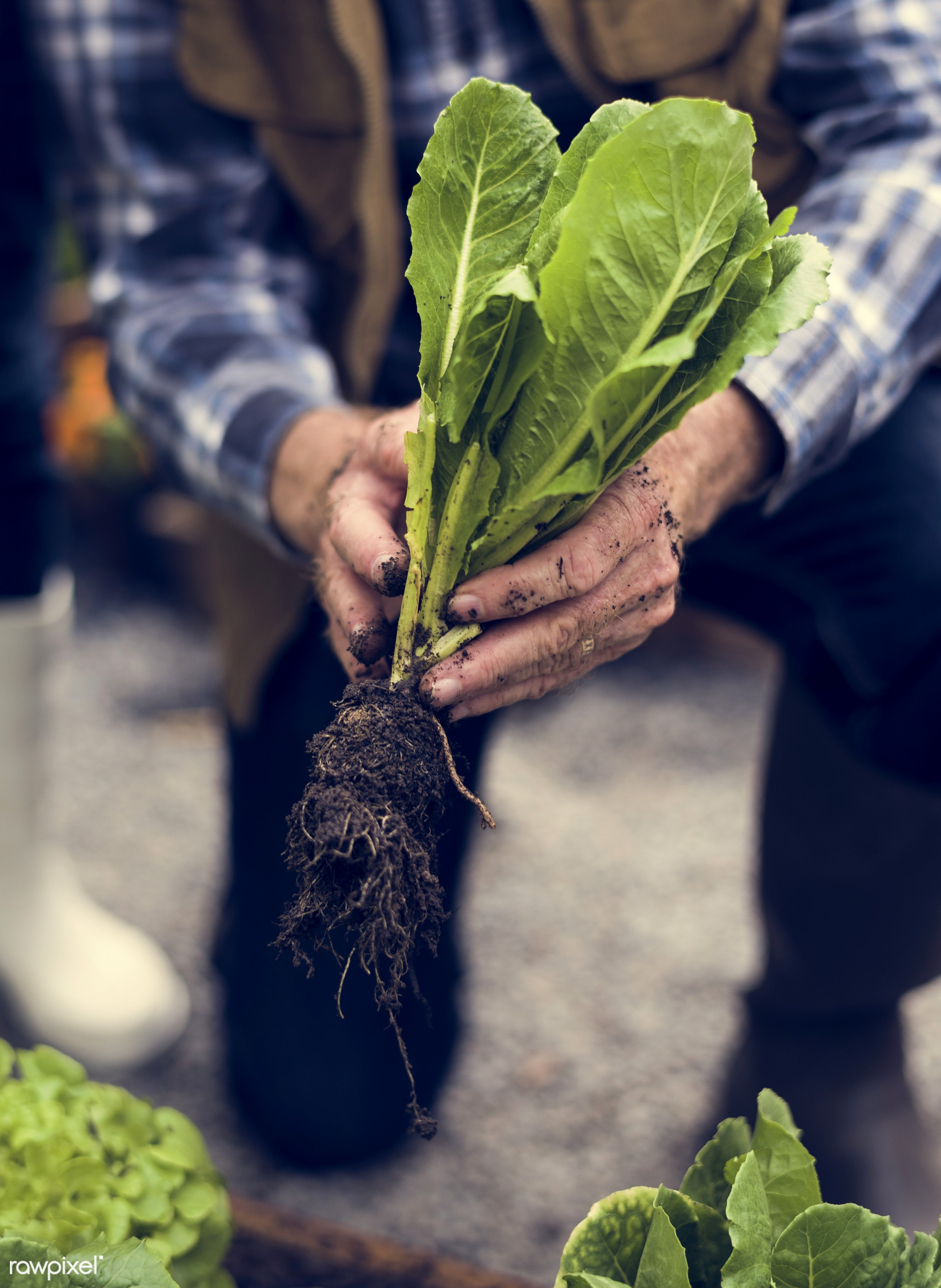 plant, nutritious, greenhouse, farmer, fresh, hands, lettuce, healthy eating, man, green, agriculture, planting, healthy...