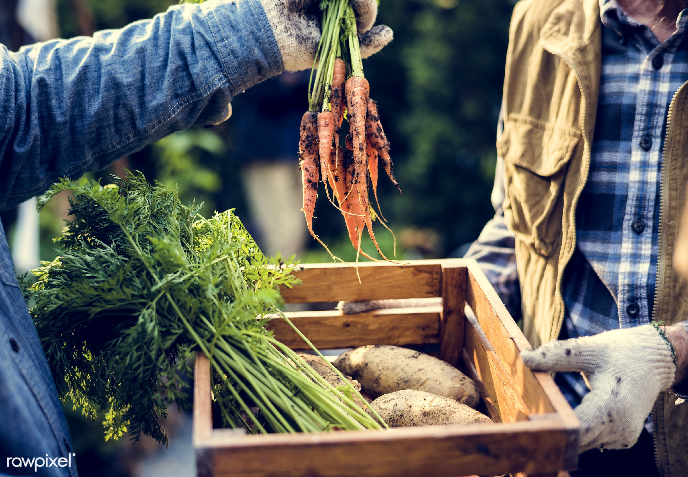 plant, nutritious, carrot, greenhouse, give, customer, sharing, farmer, fresh, healthy eating, men, green, agriculture,...