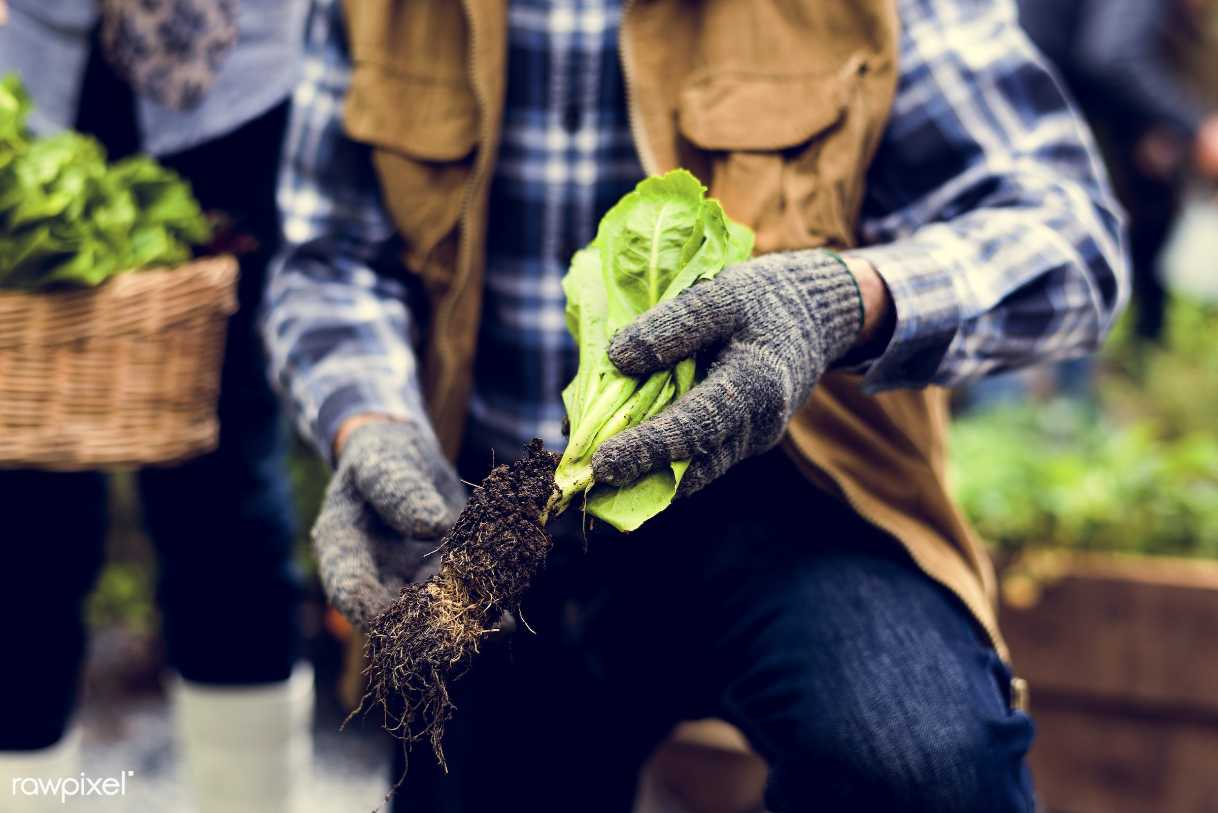 plant, nutritious, farmer, fresh, family, lettuce, woman, healthy eating, couple, man, green, togetherness, agriculture,...