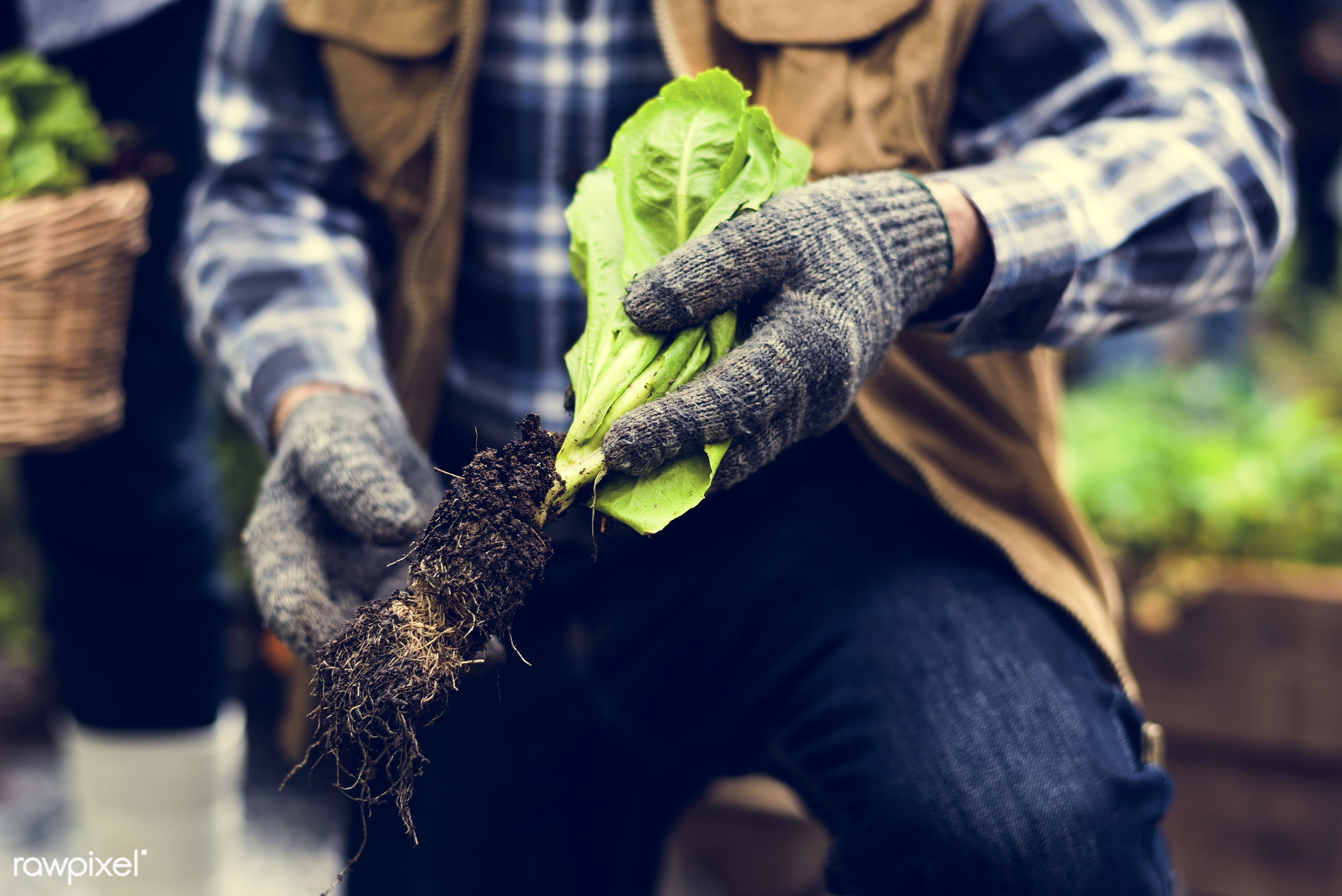 salad, person, pull, leaves, people, kid, retirement, farmer, lifestyle, dirt, agriculture, planting, present, nutrition,...