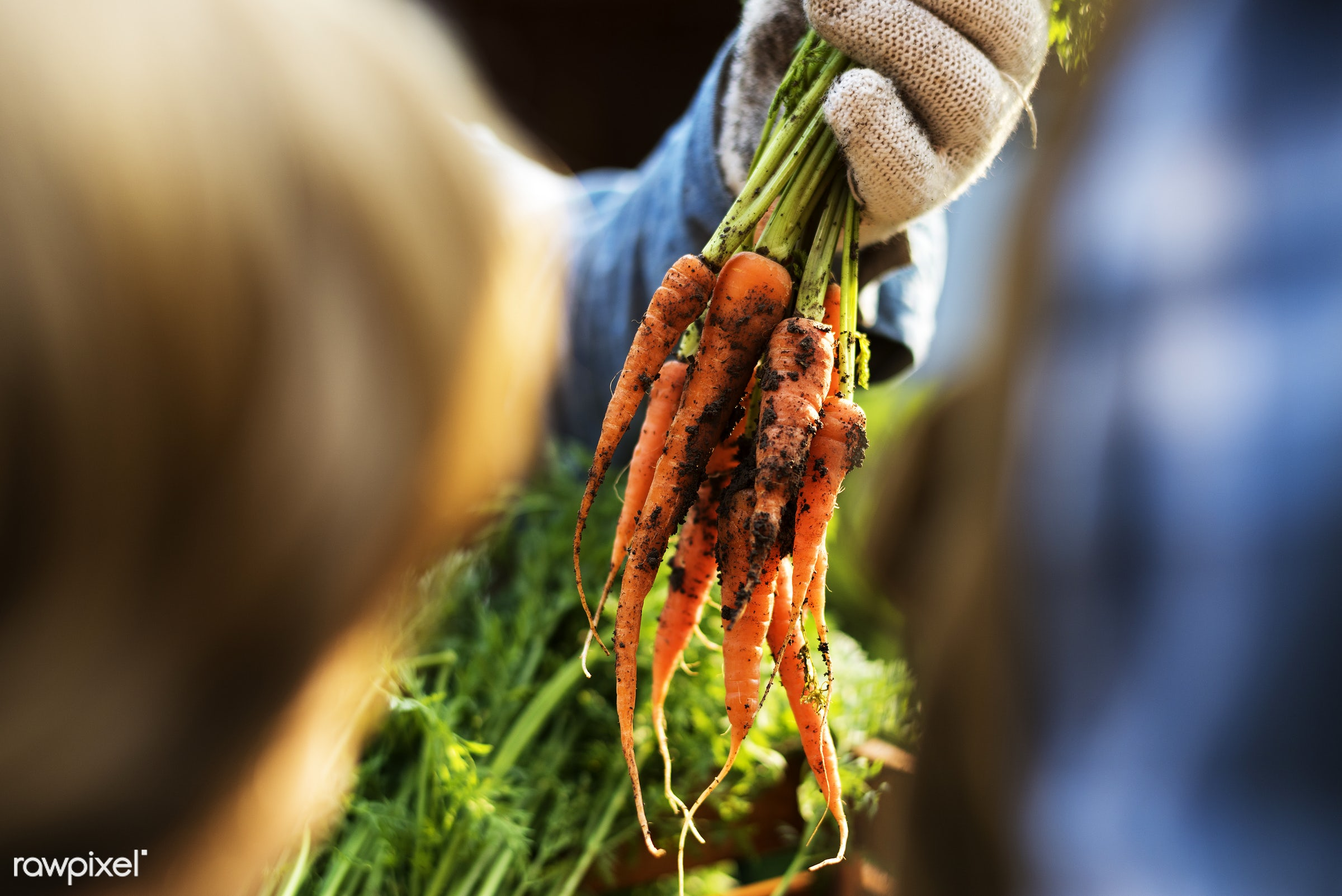plant, raw, carrot, botany, people, hand, farmer, nature, fresh, conservation, vegetarian, ingredient, ecology, hold, season...