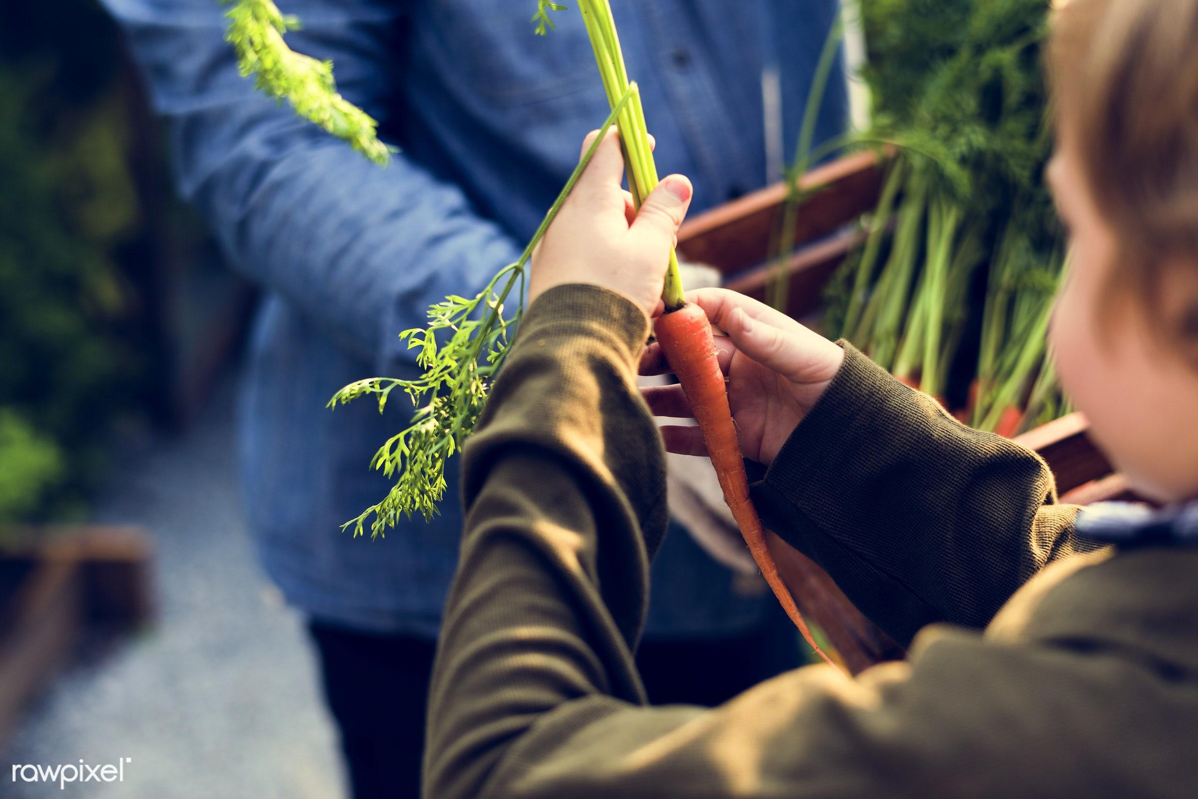 plant, raw, carrot, botany, people, hand, farmer, nature, conservation, fresh, vegetarian, ingredient, ecology, hold, season...