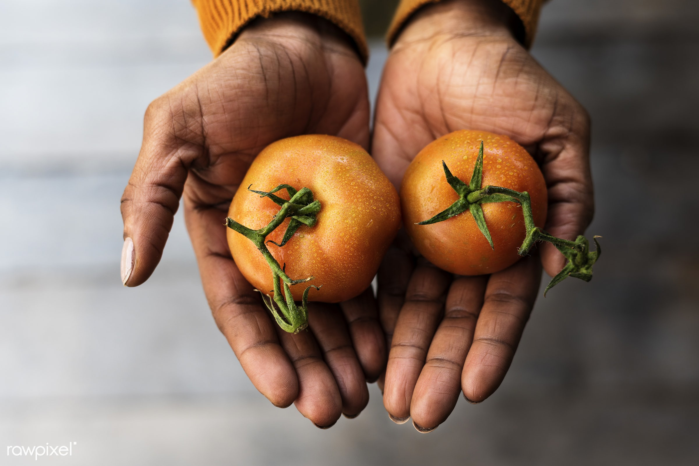 raw, plant, tomato, botany, show, people, hand, nature, farmer, hands, fresh, vegetarian, ecology, hold, season, agriculture...
