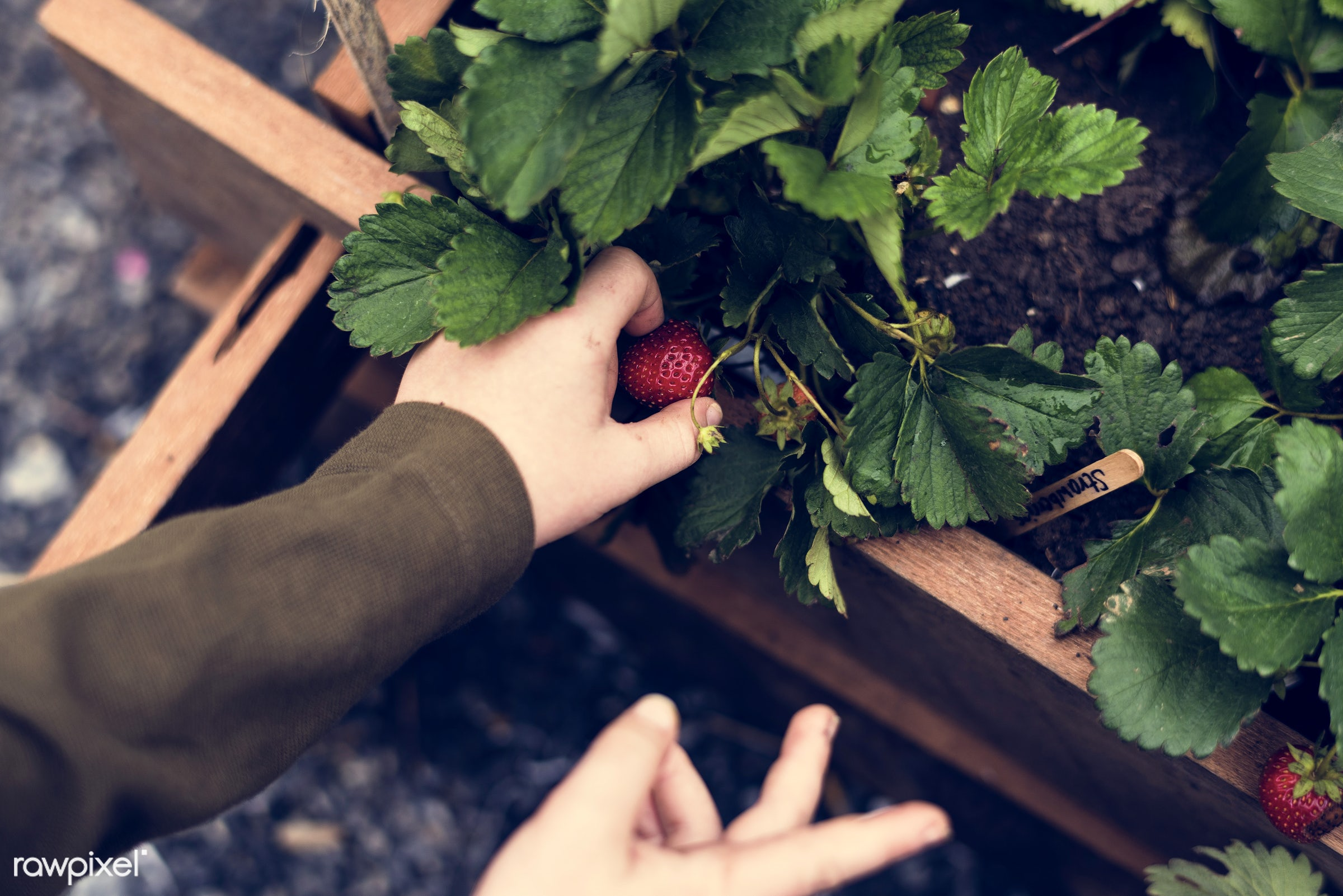 plant, person, plants, show, leaves, people, hand, farm, berry, tree, farmer, fresh, hands, wooden box, fruits, planting,...