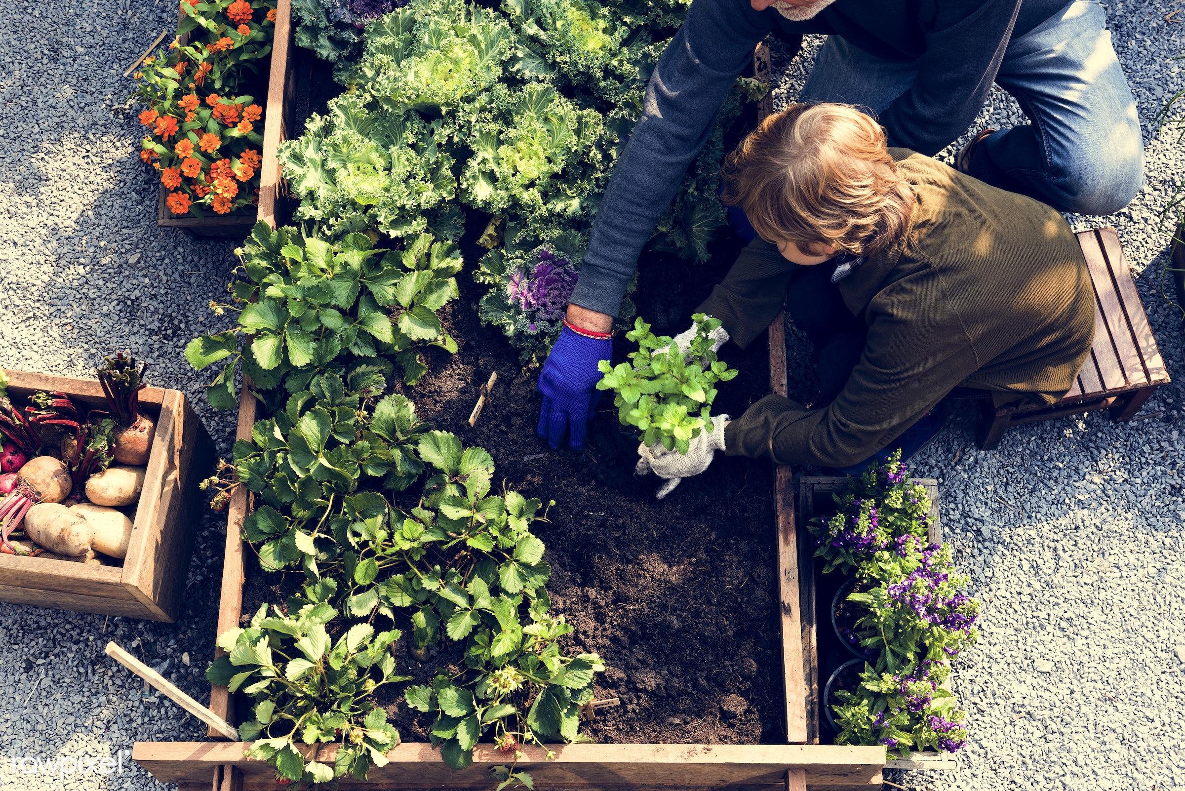 plant, carrot, nutritious, grandfather, basil, farmer, fresh, lettuce, family, healthy eating, grandson, man, flower, green...