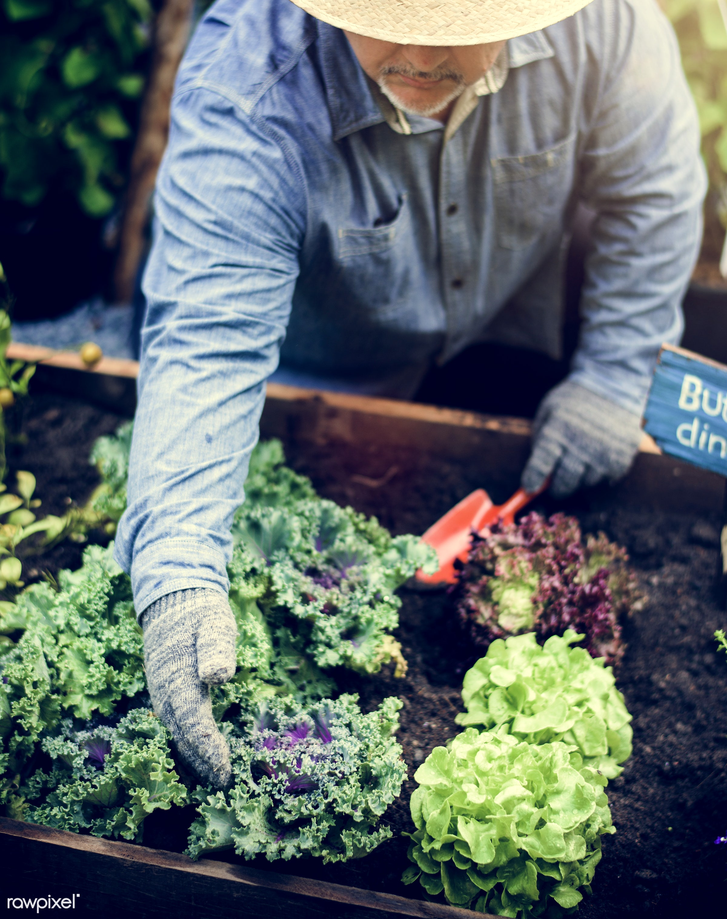 plant, nutritious, farmer, fresh, lettuce, healthy eating, man, green, togetherness, agriculture, planting, healthy...
