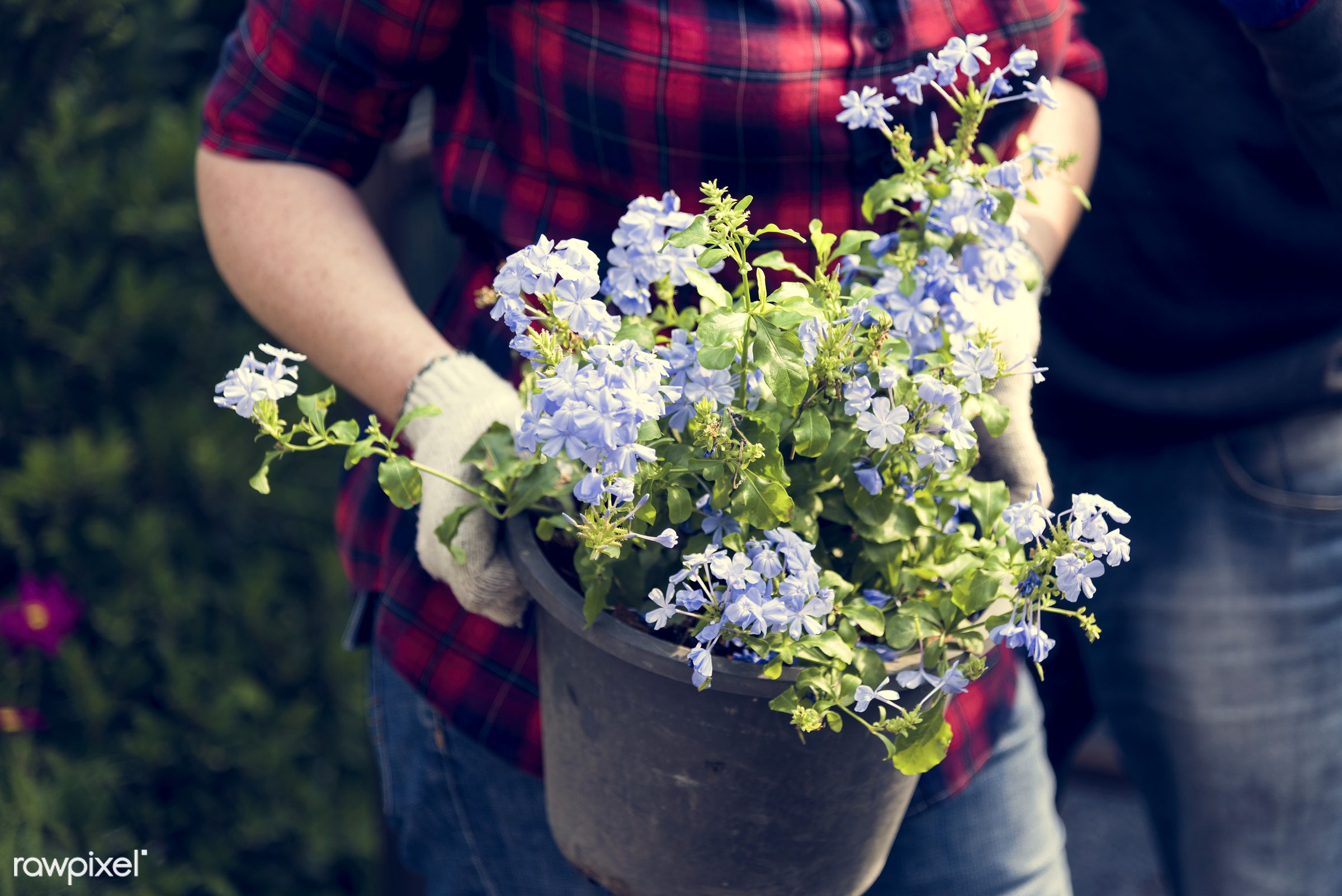 plant, person, leadwort, decorative, botany, plumbaginaceae, people, pot, nature, hands, fresh, woman, blooming, flora,...