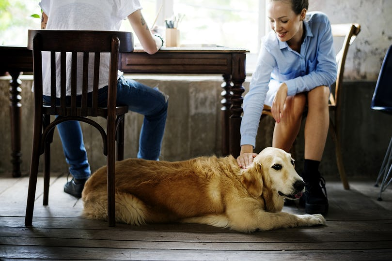 Golden Retriever Dog Laying on The Wooden Floor