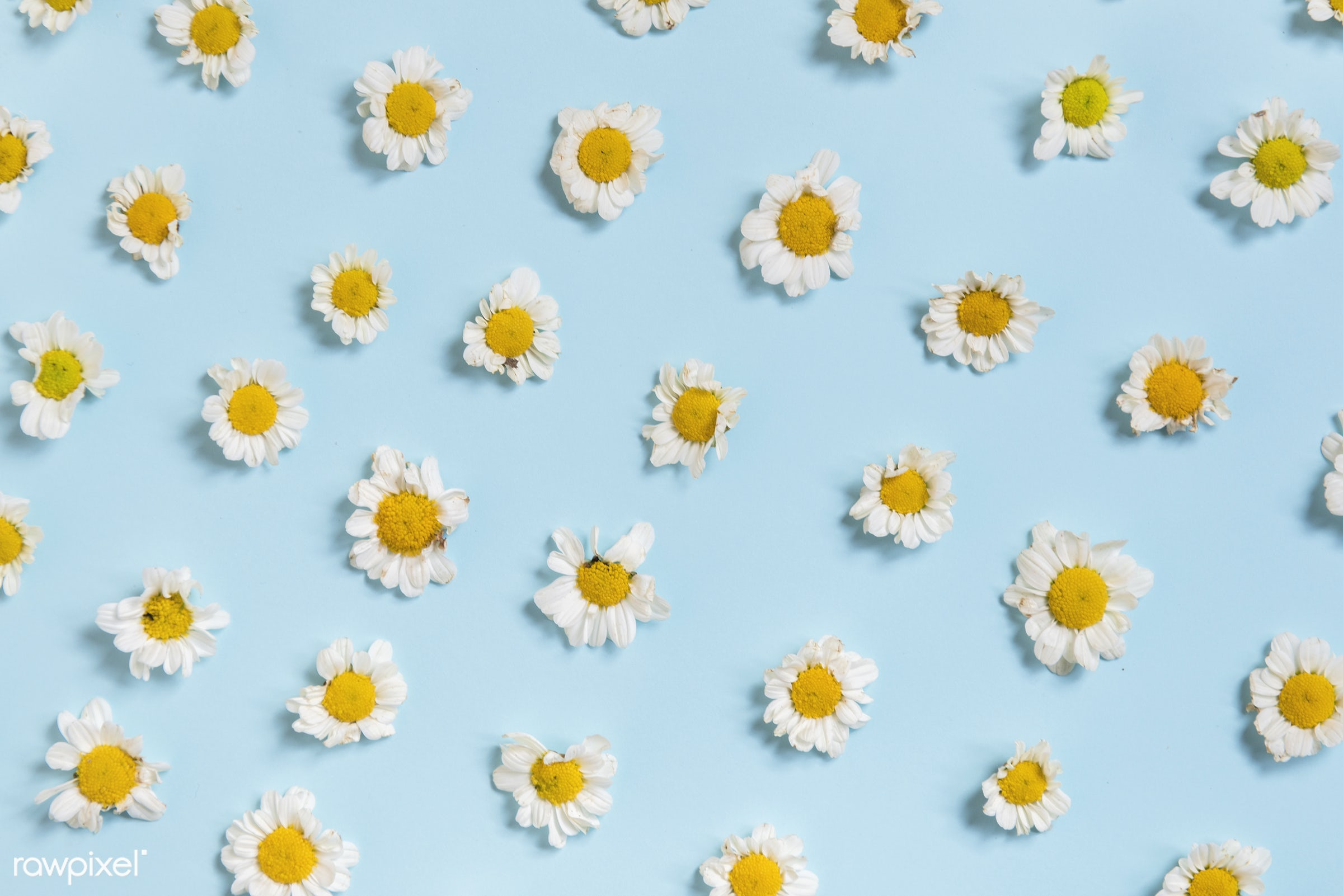 nobody, petals, set, chamomile, daisy, line, collection, blossom, real, nature, fresh, flowers, objects, closeup, decoration...