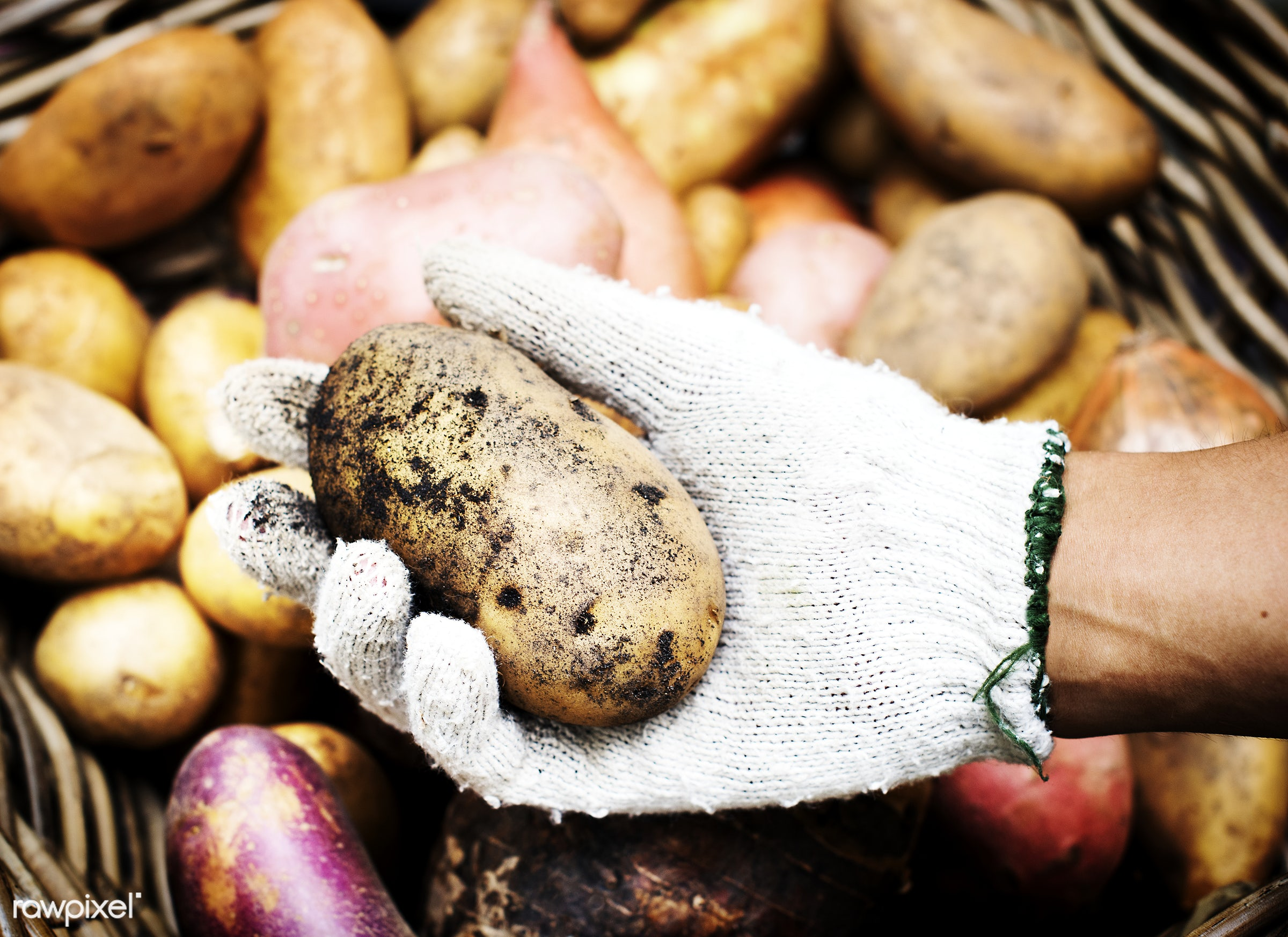 A person handling potatoes - raw, diverse, potatoes, farm, ingredients, farmer, nature, fresh, hands, dirt, products,...