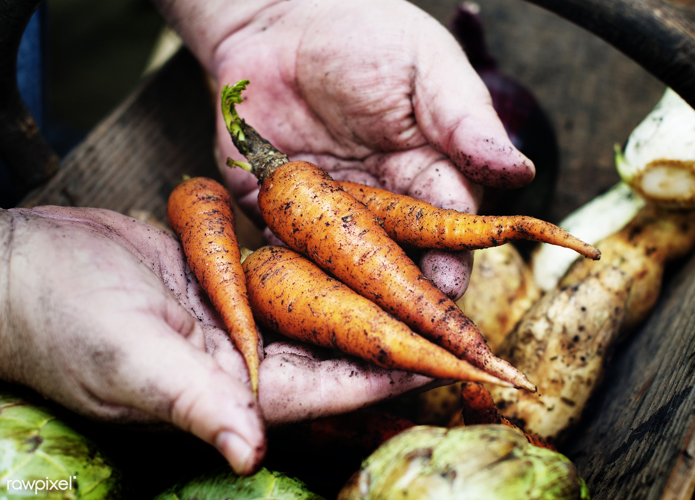 A person handling carrots - raw, diverse, farm, ingredients, farmer, nature, fresh, hands, dirt, products, closeup,...