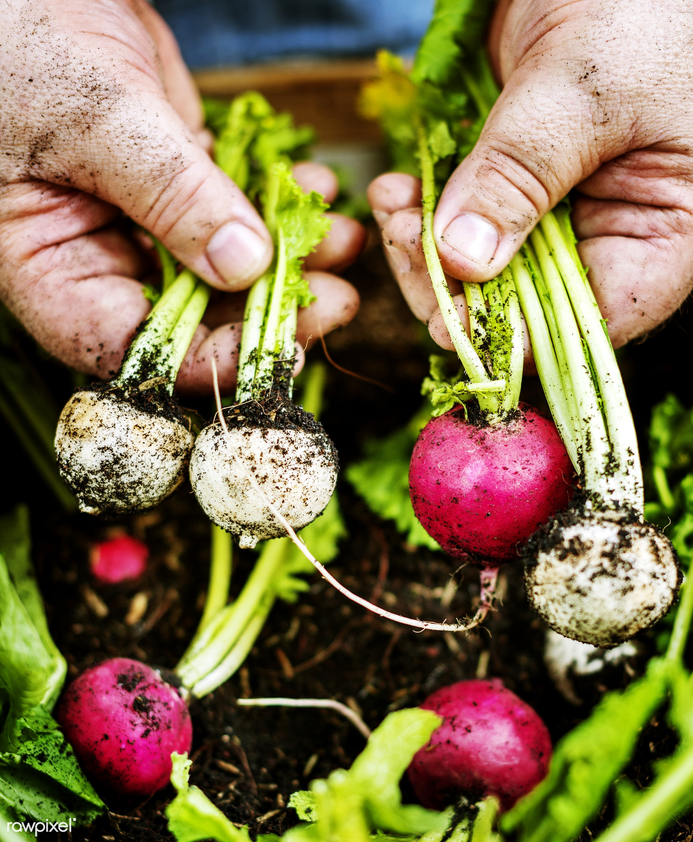 A person handling beets - raw, diverse, farm, ingredients, farmer, nature, fresh, hands, dirt, products, closeup,...