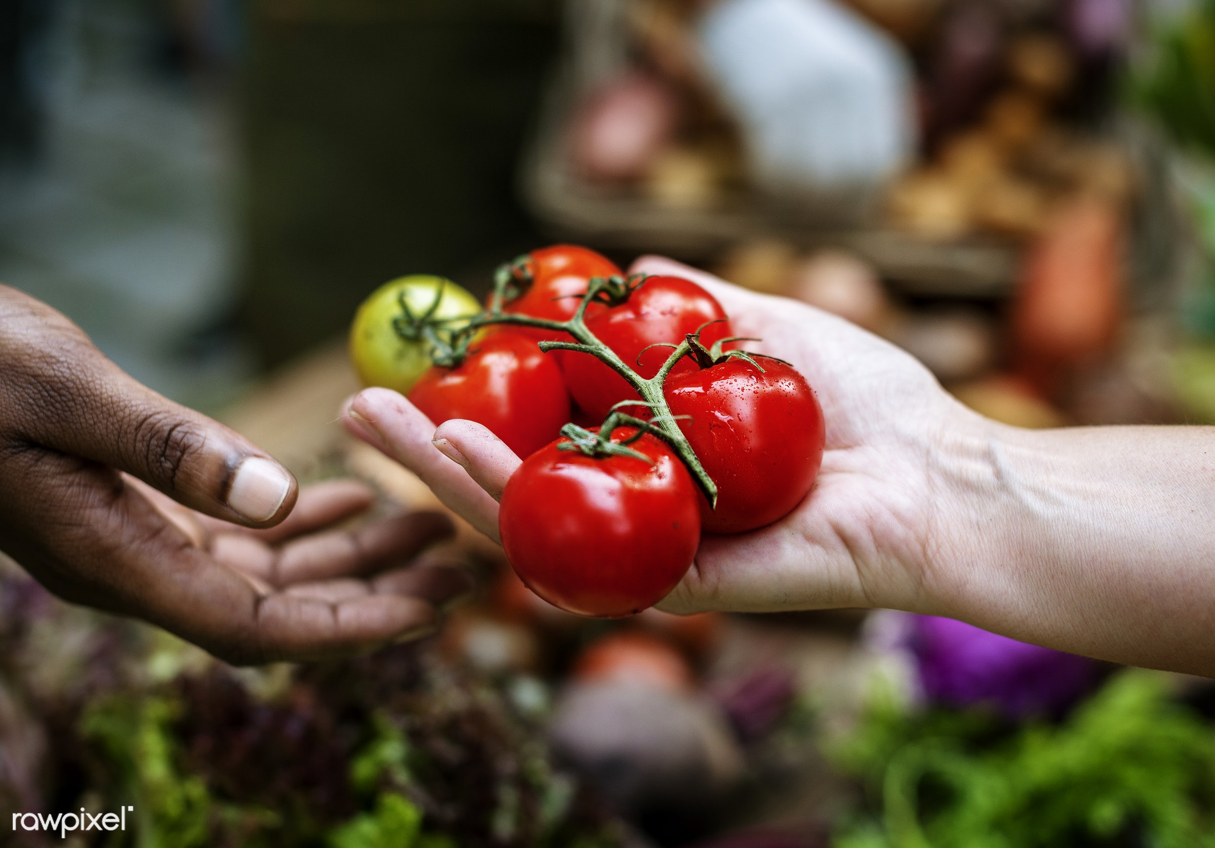 raw, tomato, diverse, farm, ingredients, sharing, farmer, nature, fresh, hands, products, closeup, agriculture, offering,...