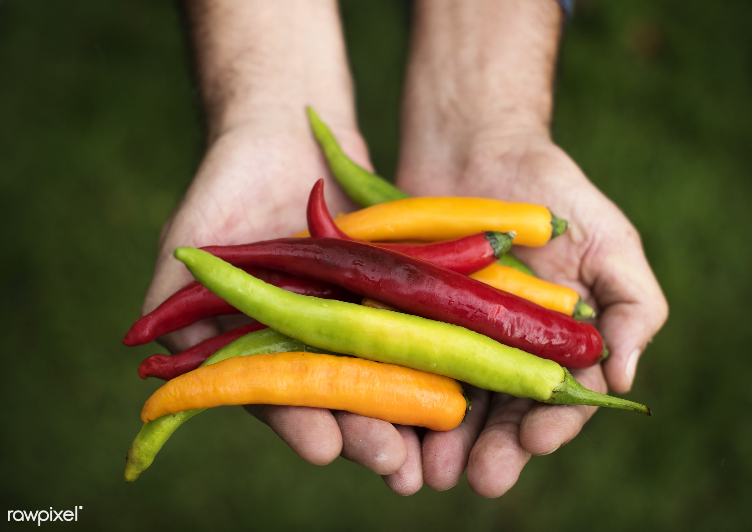 cayenne, holding, spice, nature, hands, chilli, closeup, mexican, chili, organic, food, healthy, gardening, harvest,...