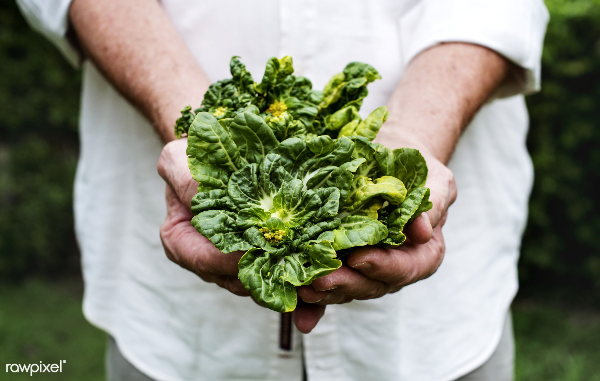 Hands holding kale organic produce from farm - raw, holding, nature, hands, fresh, closeup, organic, kale, healthy, harvest...