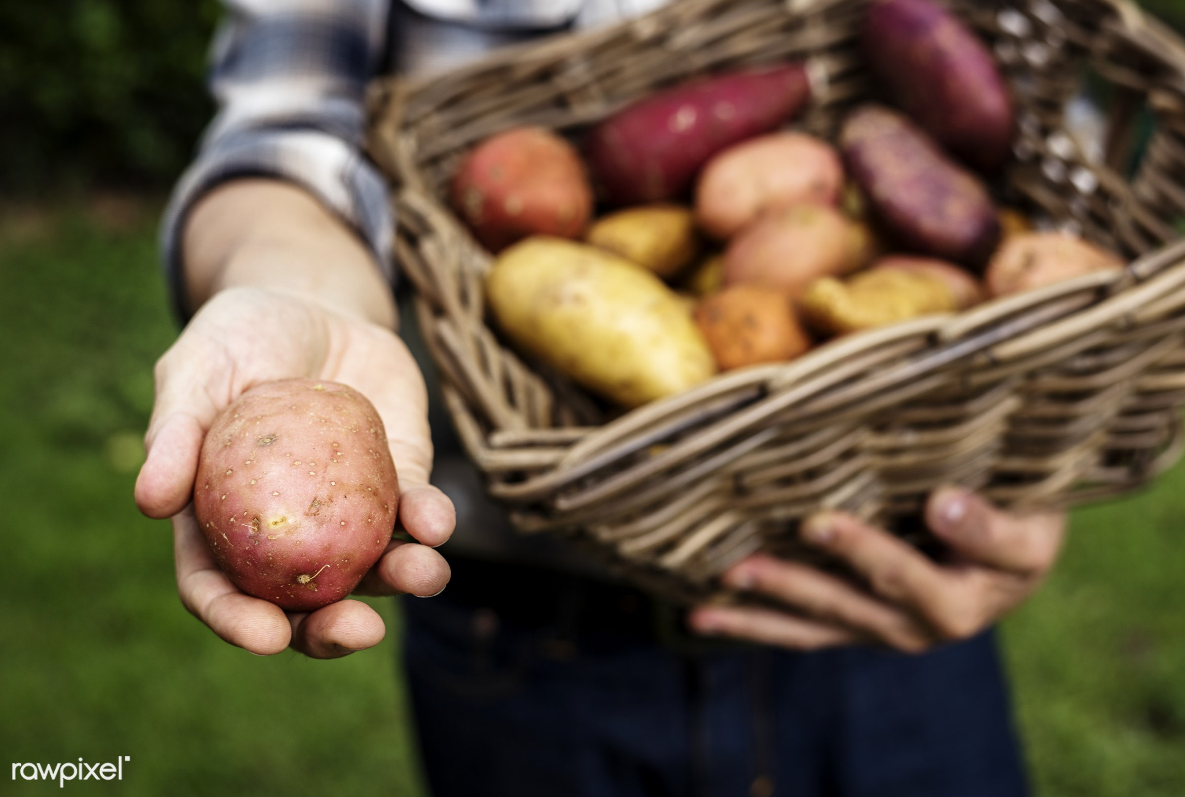 raw, holding, potatoes, farm, nature, hands, fresh, closeup, organic, basket, healthy, harvest, vegetable, produce