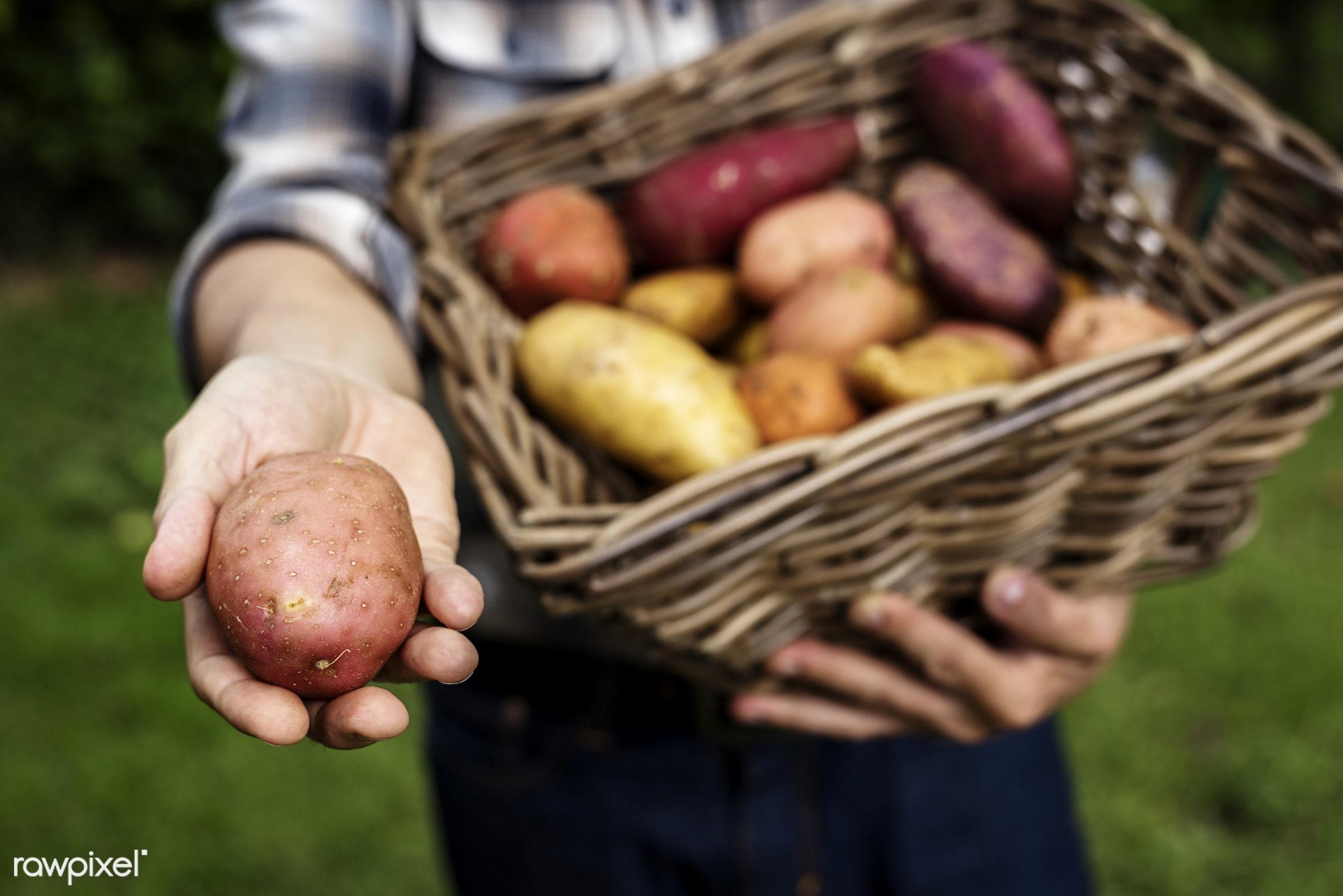 raw, holding, potatoes, farm, nature, hands, fresh, closeup, organic, basket, healthy, harvest, vegetable, produce