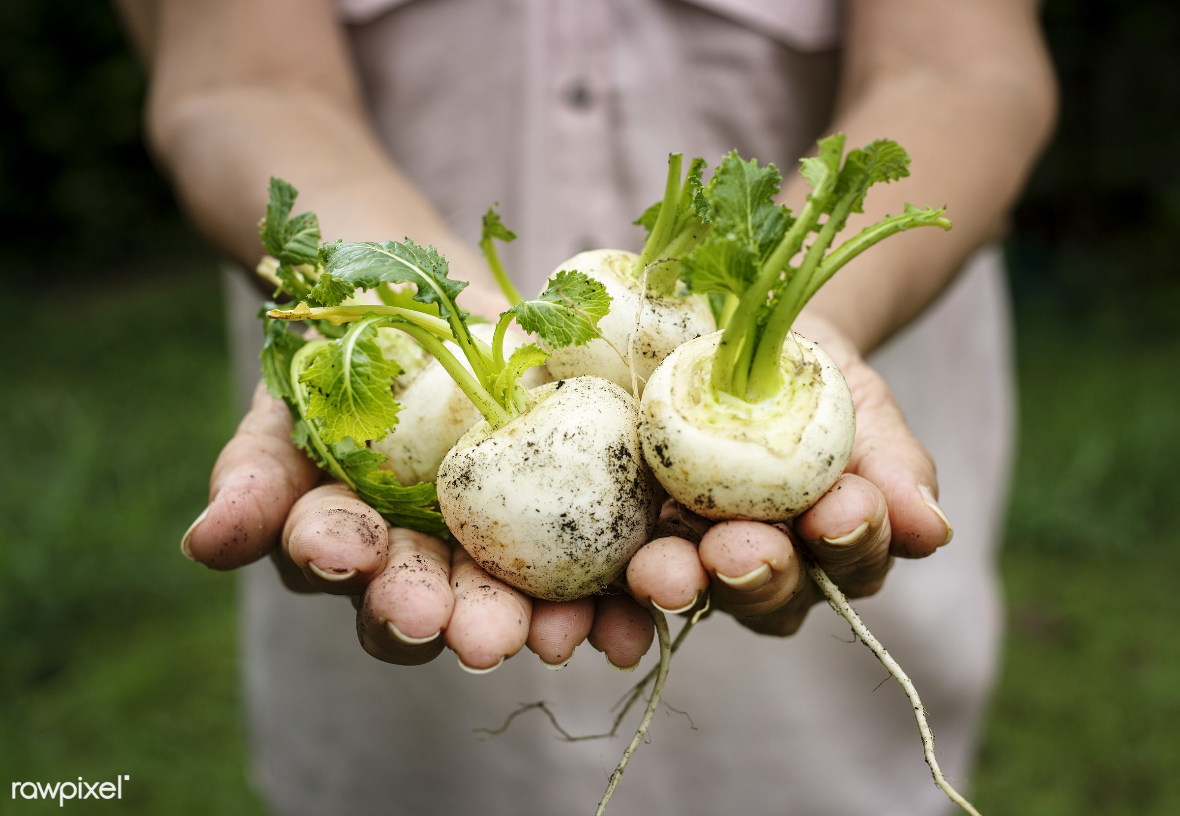Fresh white beets vegetable - raw, holding, nature, hands, fresh, closeup, organic, healthy, harvest, vegetable, products,...
