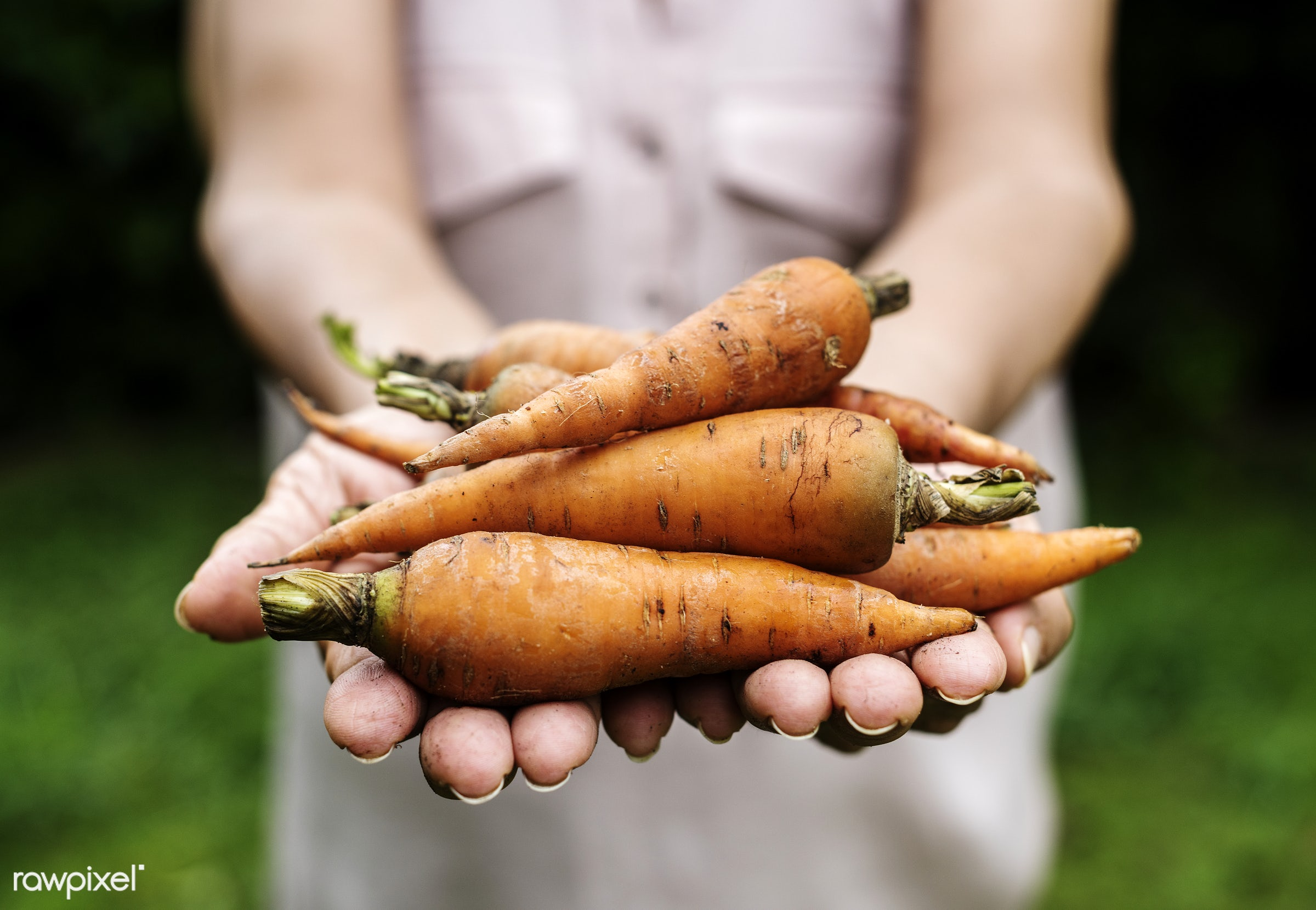 Fresh organic carrots - raw, carrot, holding, nature, hands, fresh, ingredient, closeup, food, healthy, senior adult,...