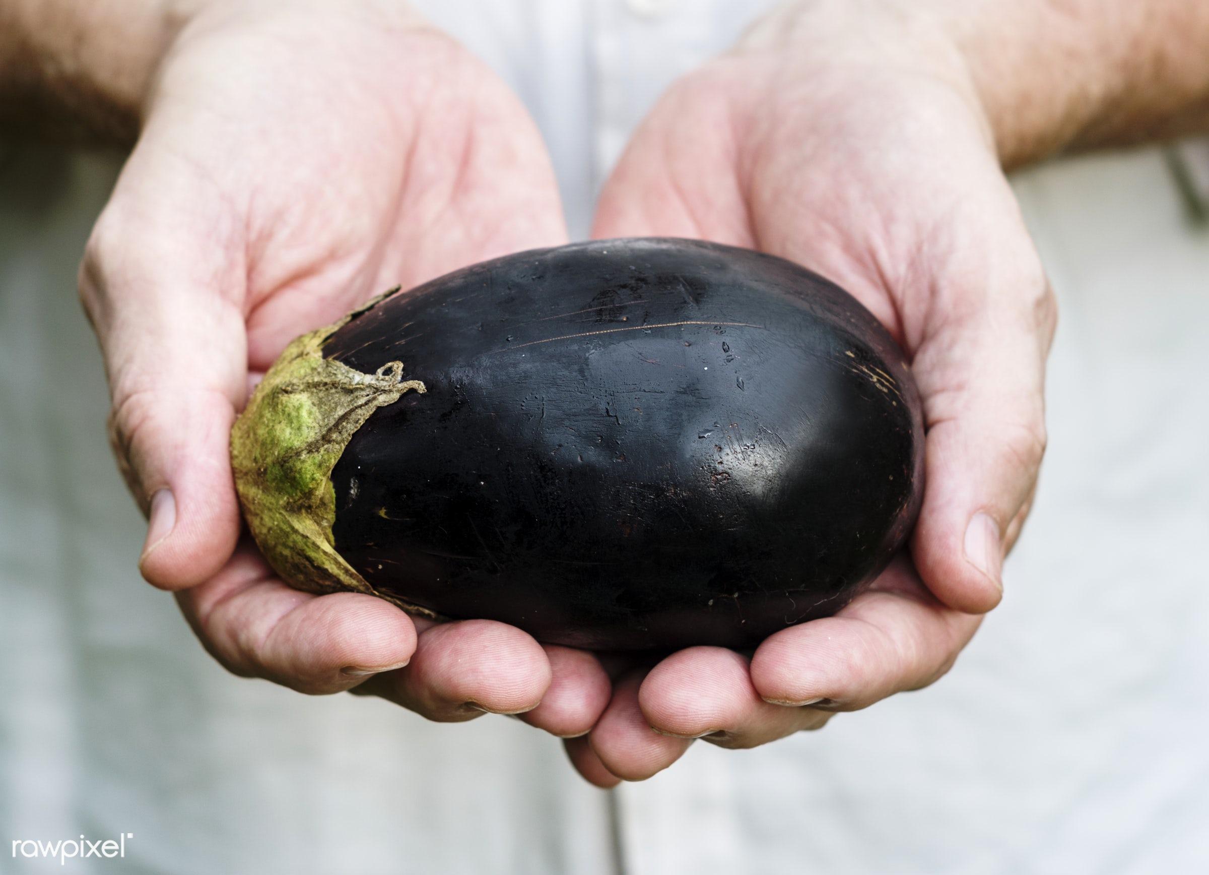 Fresh eggplant vegetable - raw, holding, eggplant, nature, hands, fresh, closeup, organic, healthy, harvest, vegetable,...