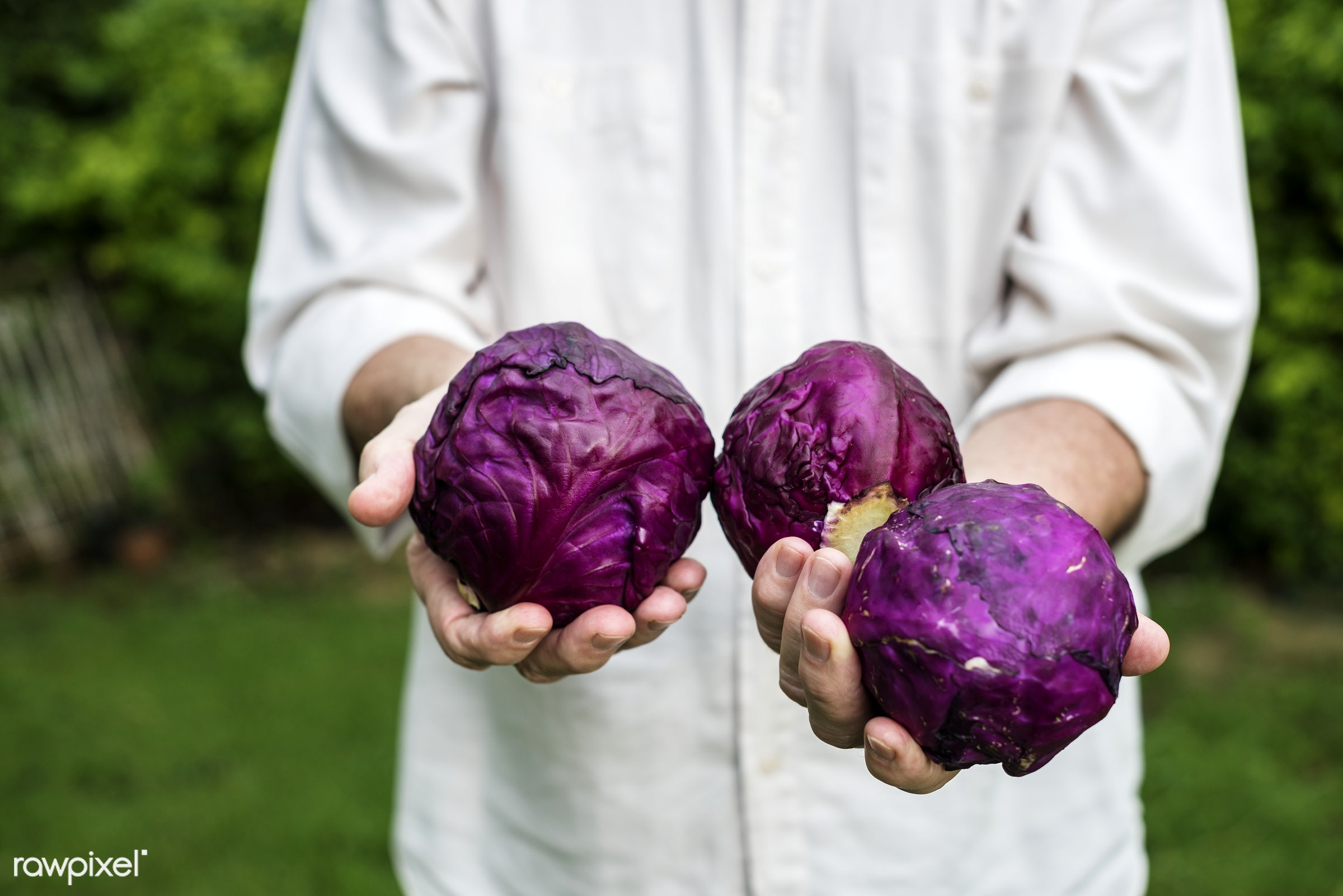 plant, raw, cuisine, holding, red cabbage, crop, nature, fresh, hands, pick, ingredient, cultivation, closeup, agriculture,...