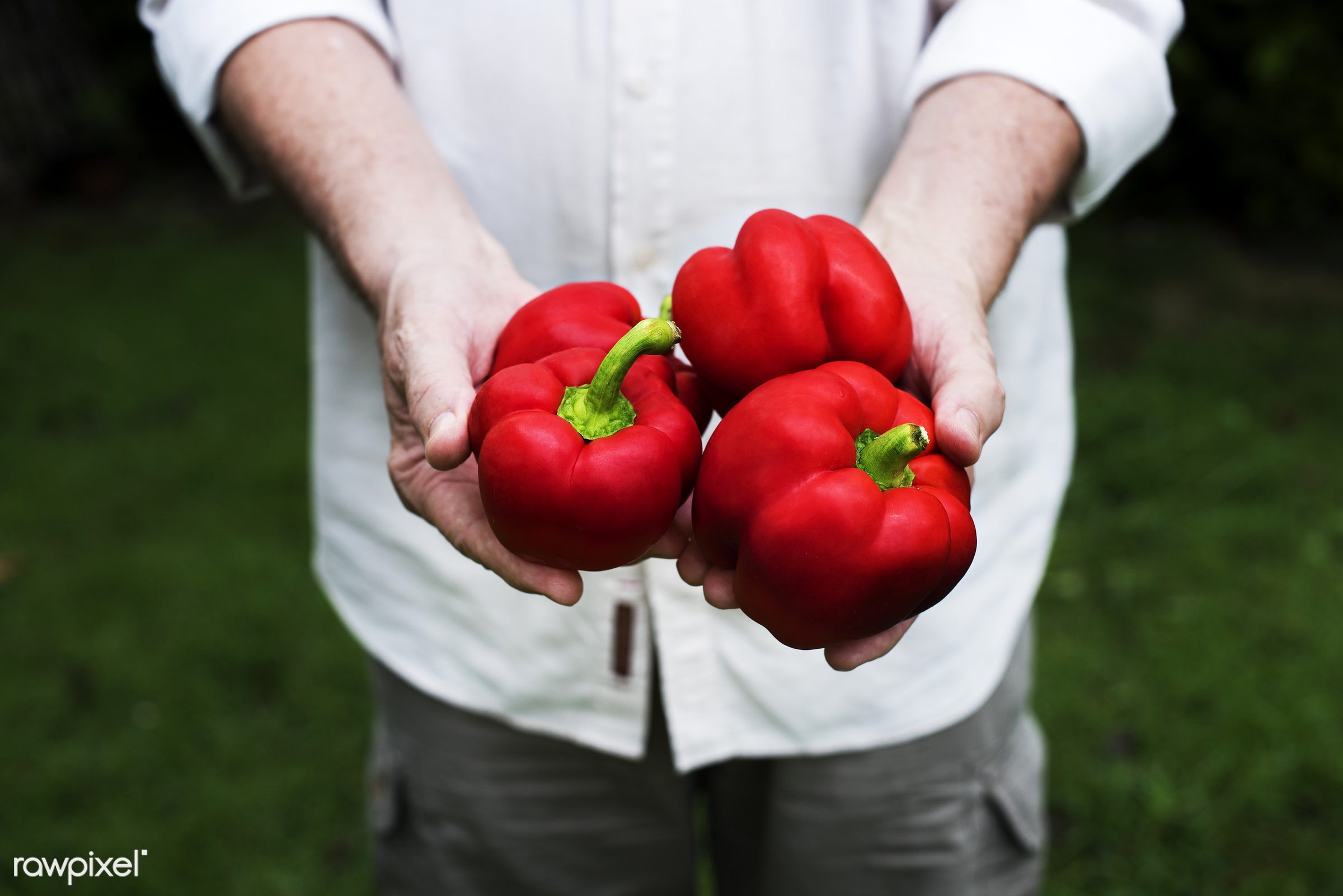 plant, raw, cuisine, bell pepper, crop, hands, fresh, ingredient, cultivation, pick, agriculture, farming, product, organic...