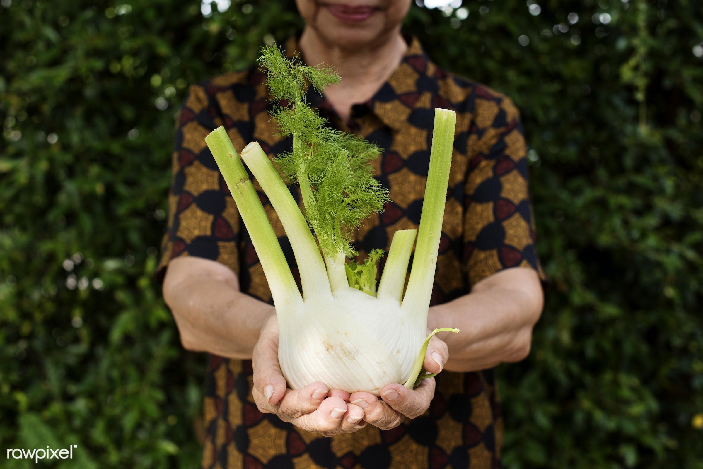 fennel, holding, real, hands, fresh, showing, closeup, healthcare, nutrients, organic, food, vegetable, elderly, senior