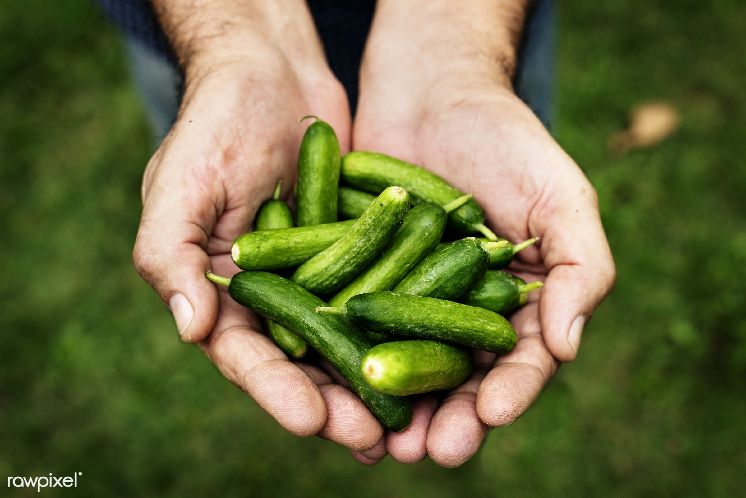 Hands holding a green vegetable - raw, holding, fiber, kind, nature, hands, fresh, ingredient, closeup, green, culinary,...
