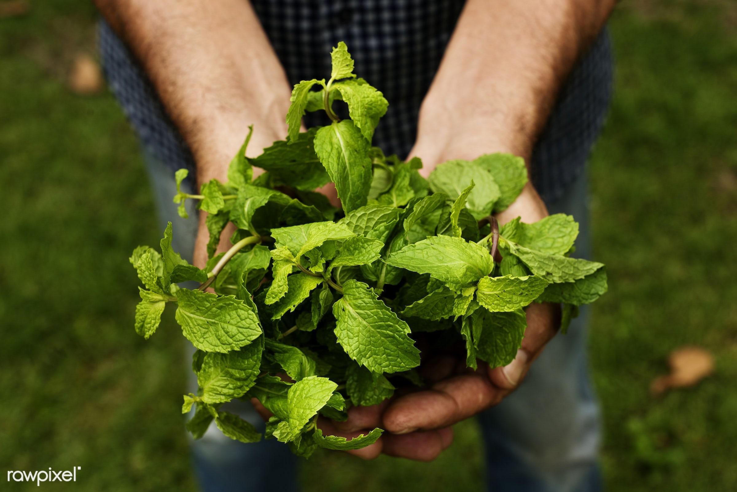 raw, holding, farm, nature, hands, fresh, closeup, peppermint, organic, healthy, harvest, produce