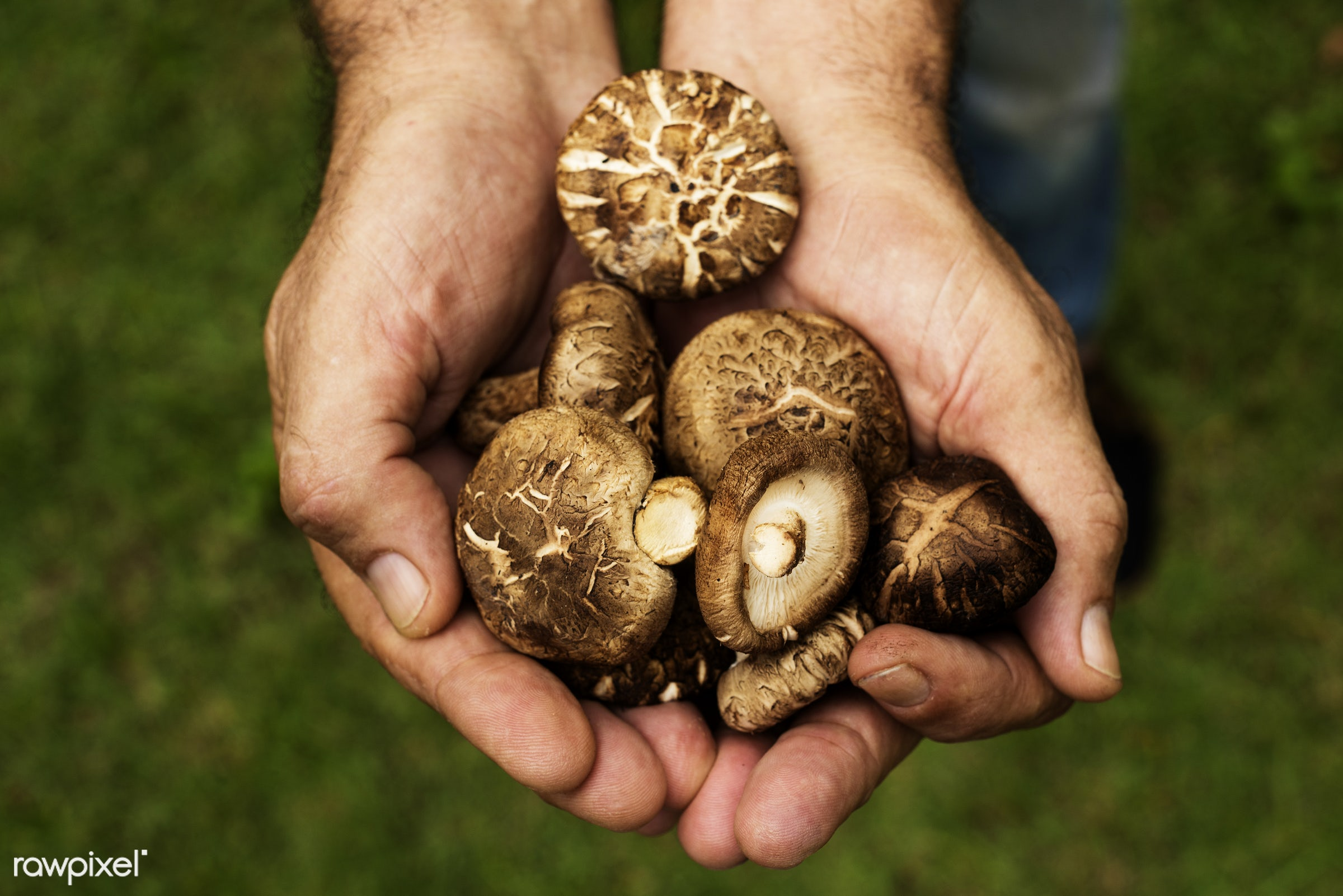 mushroom, plant, raw, cuisine, crop, hands, fresh, cultivation, pick, ingredient, agriculture, farming, product, organic,...