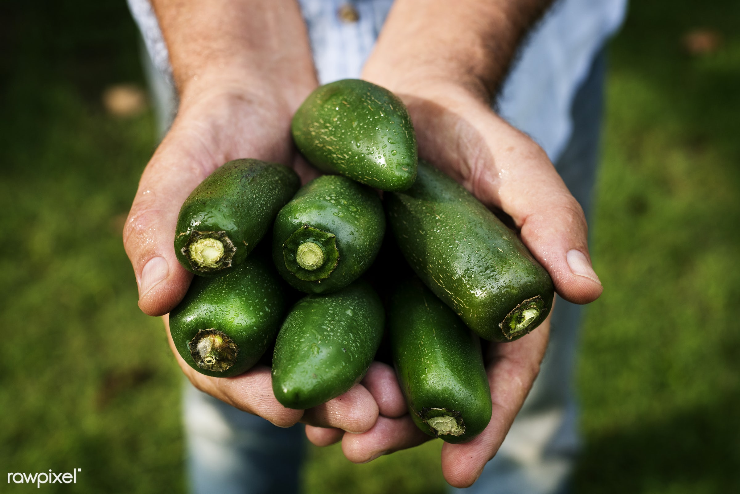 Fresh jalapeno peppers - plant, raw, cuisine, holding, crop, nature, jalapeno, fresh, hands, ingredient, cultivation,...