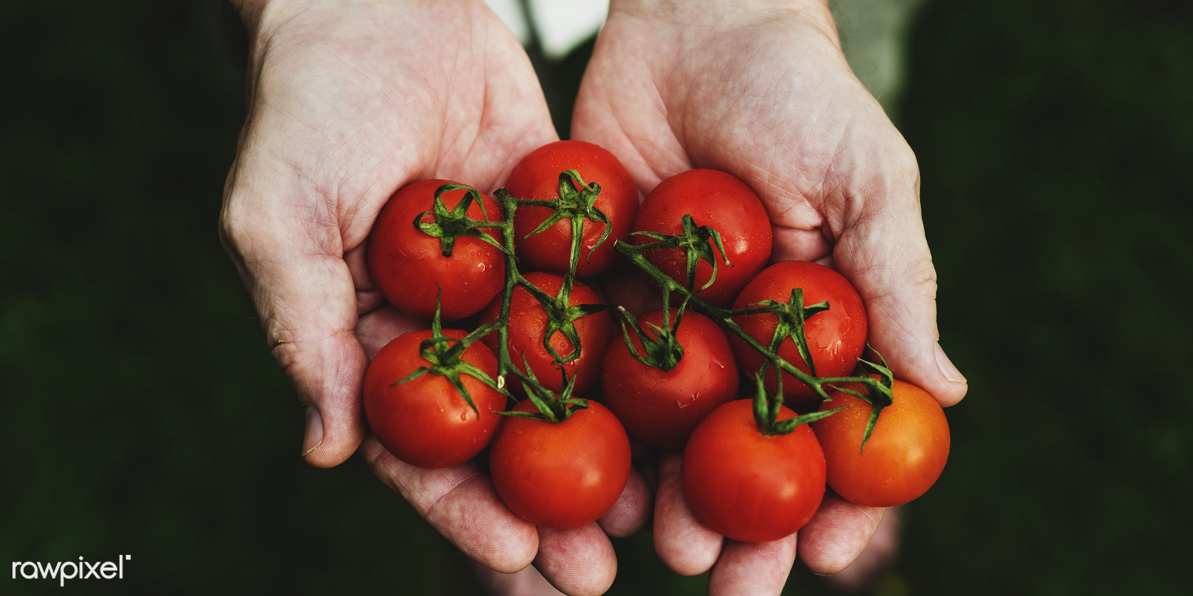 raw, holding, farm, nature, hands, fresh, veggie, closeup, tomatoes, organic, healthy, harvest, vegetable, produce