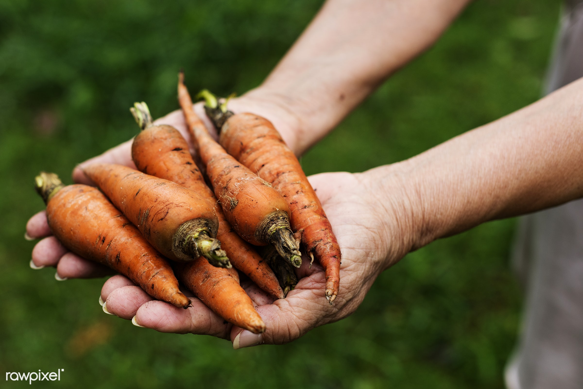 raw, carrot, holding, farm, nature, hands, fresh, ingredient, closeup, organic, food, healthy, harvest, produce