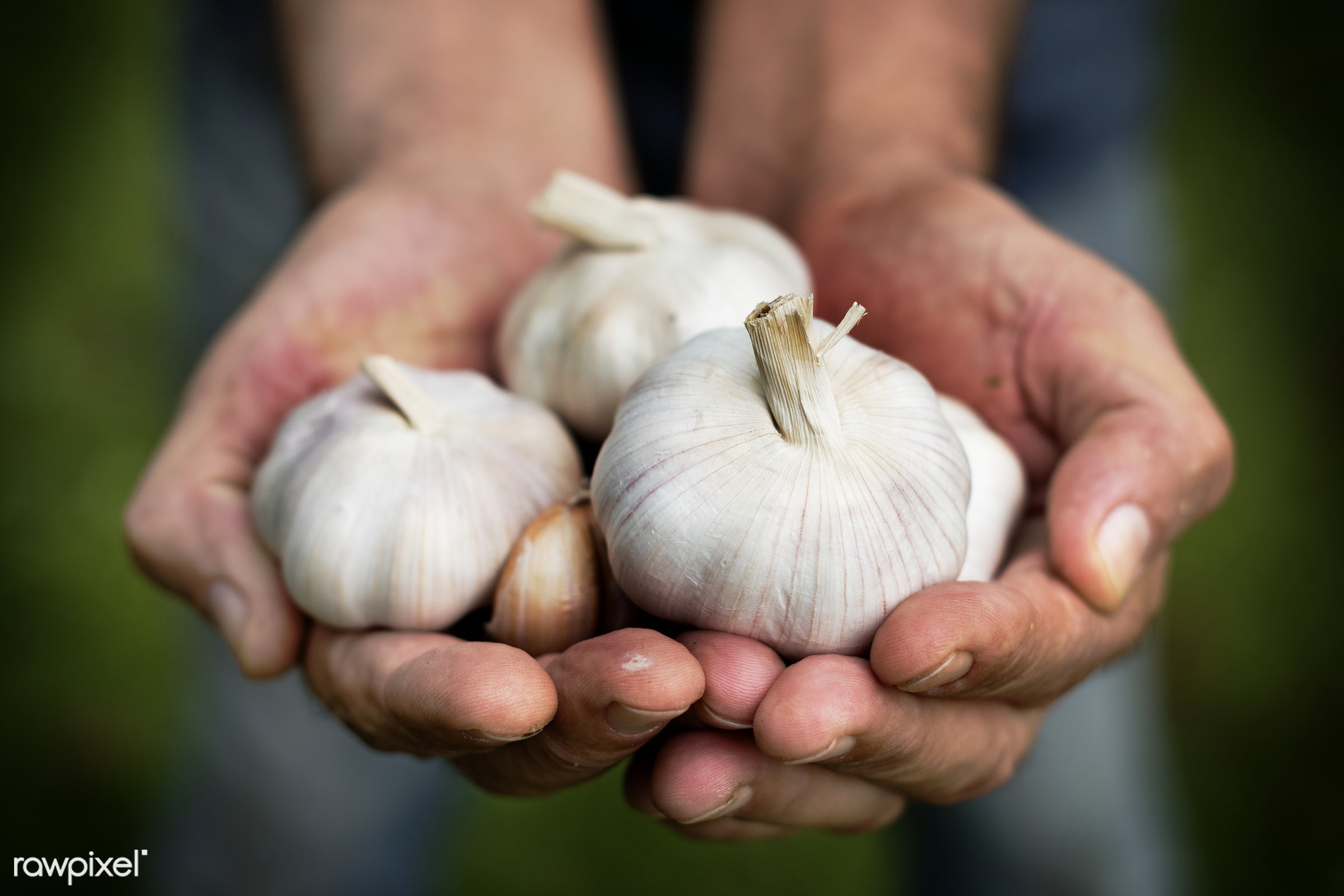 garlic, holding, seasoning, nature, hands, fresh, ingredient, closeup, gourmet, clove, flavor, organic, herb, food, healthy...