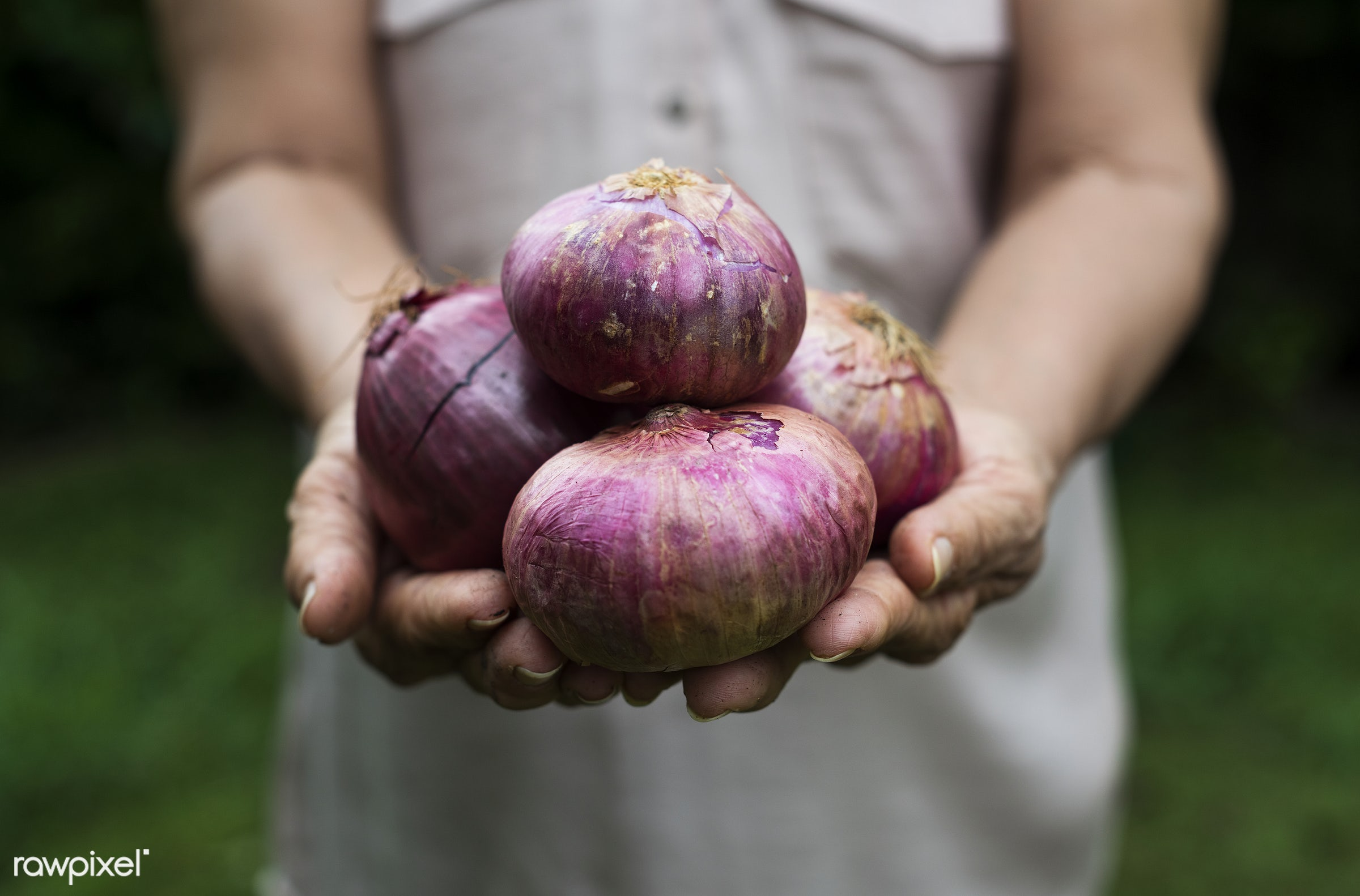 raw, holding, farm, nature, hands, fresh, veggie, closeup, white, red onion, picking, organic, healthy, harvest, vegetable,...