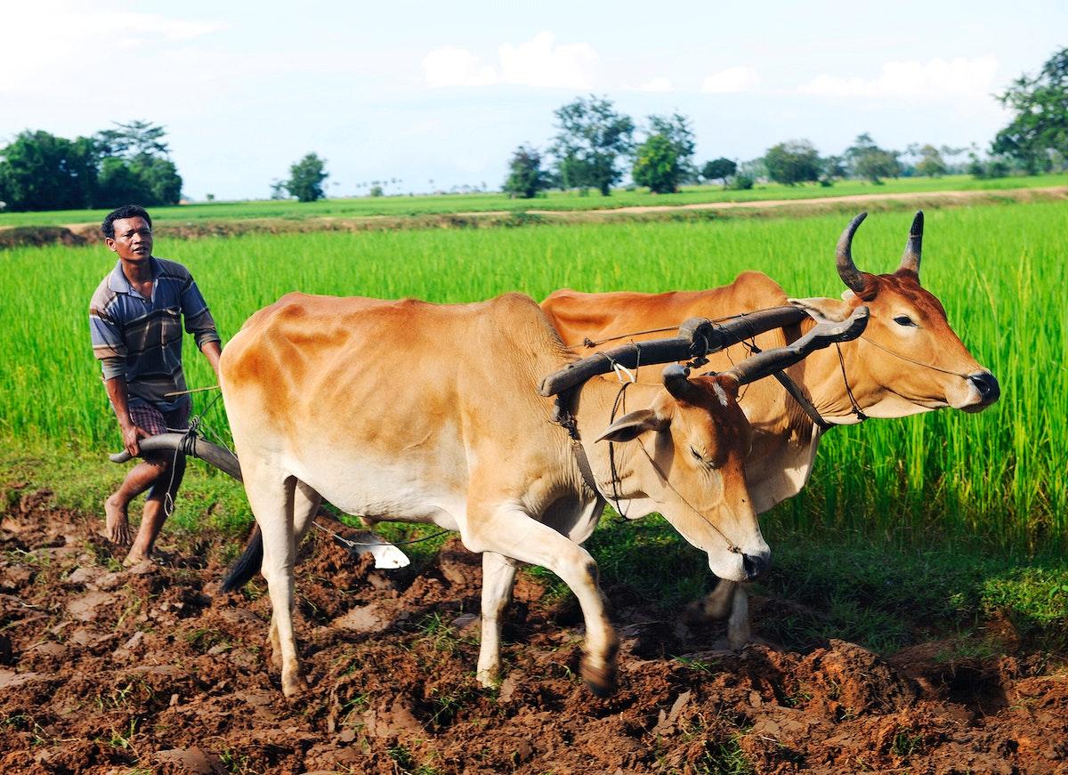 Camodian local farmer ploughing the soil.